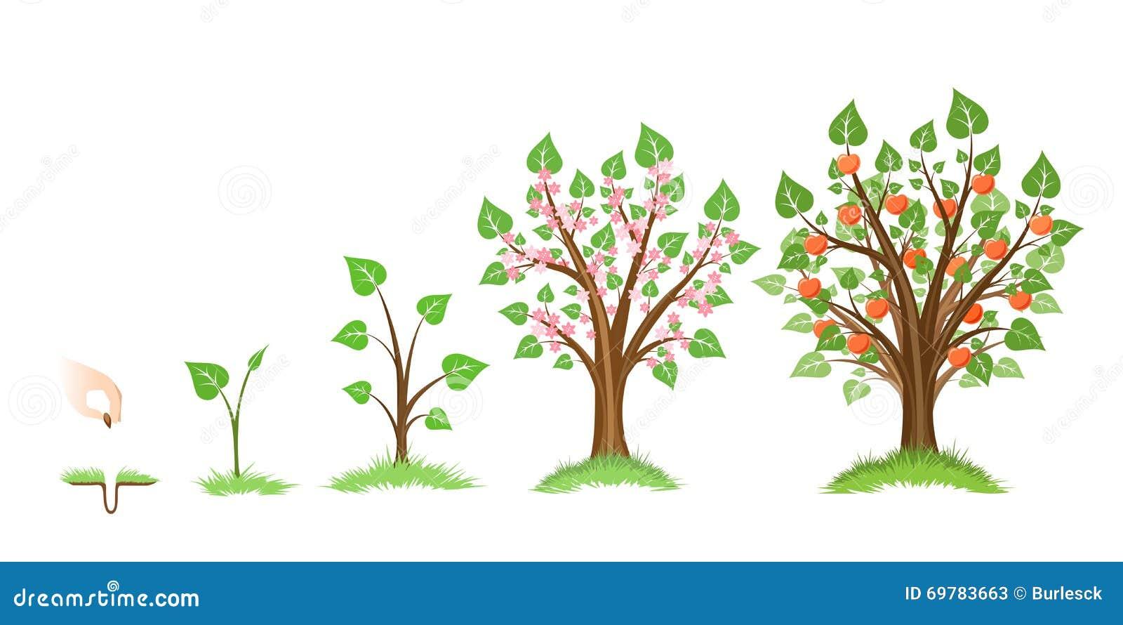 Рост яблони