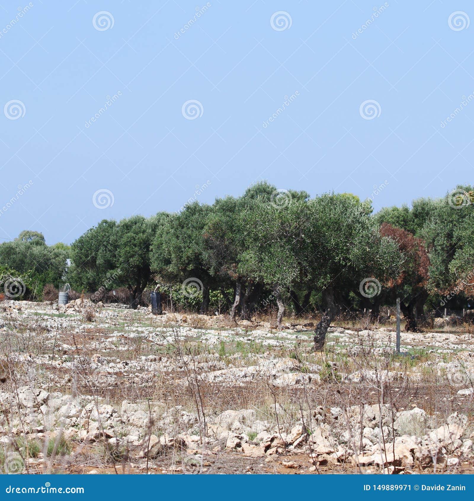 Роща оливковых дерев в Salento в Апулии в Италии