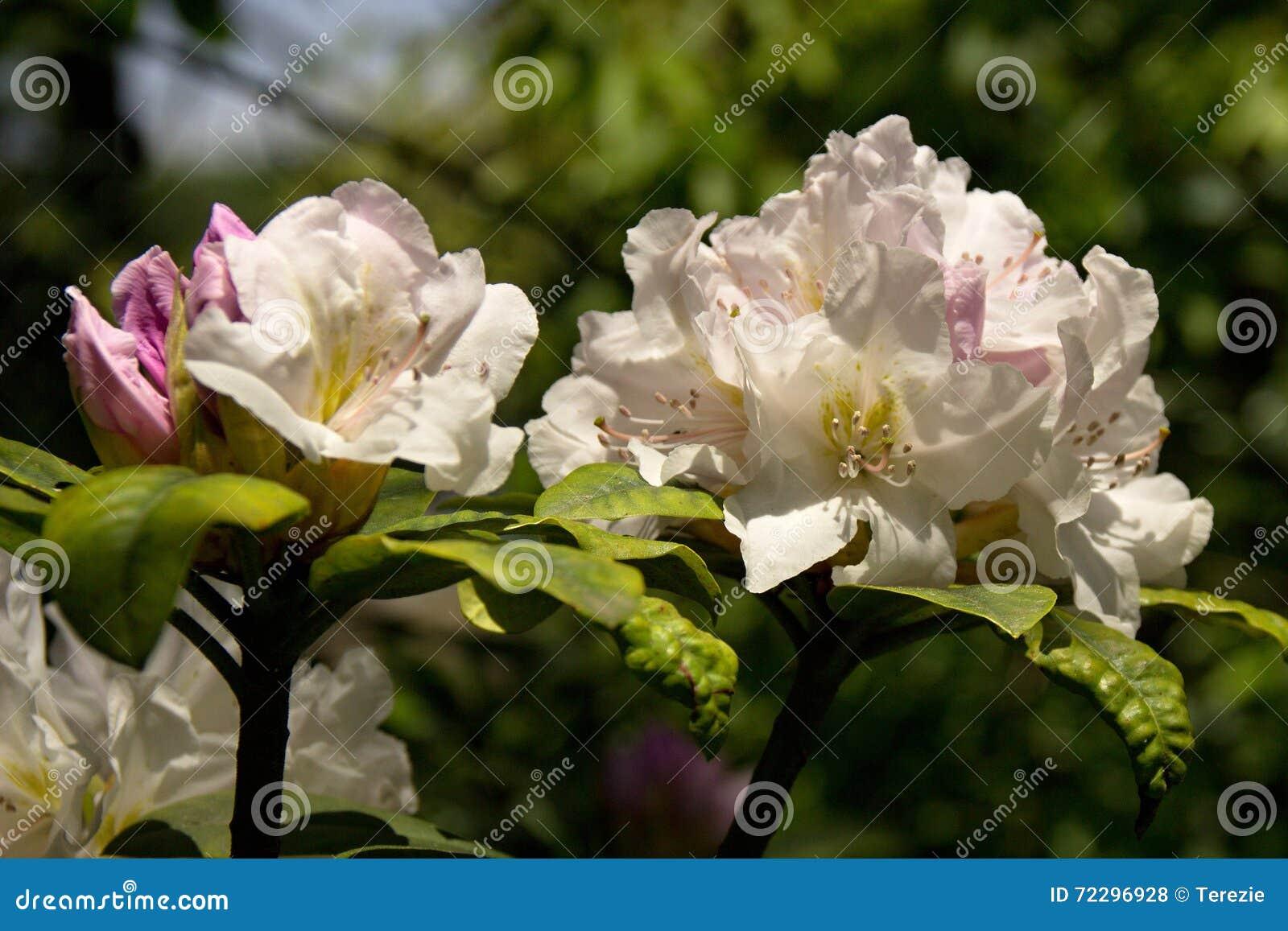 Download рододендрон стоковое фото. изображение насчитывающей вишня - 72296928