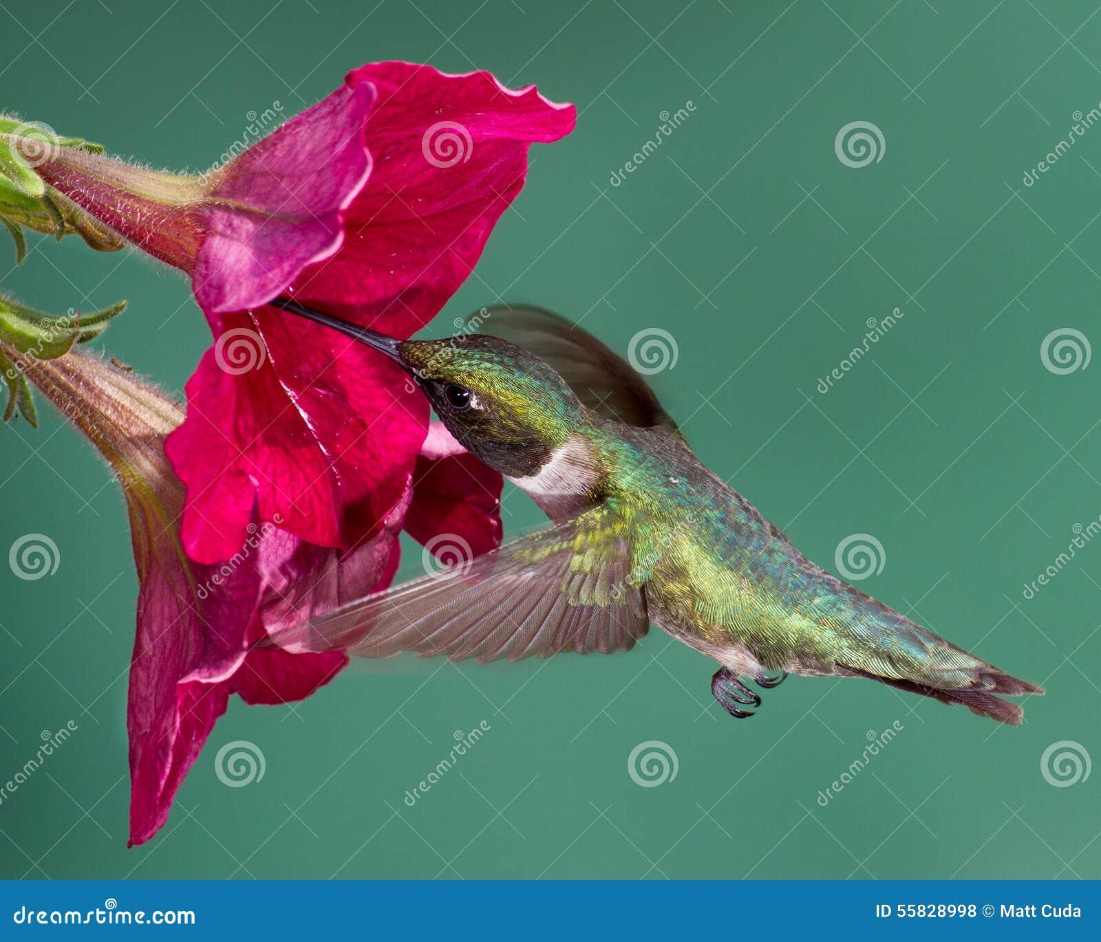Рубин-Throated колибри