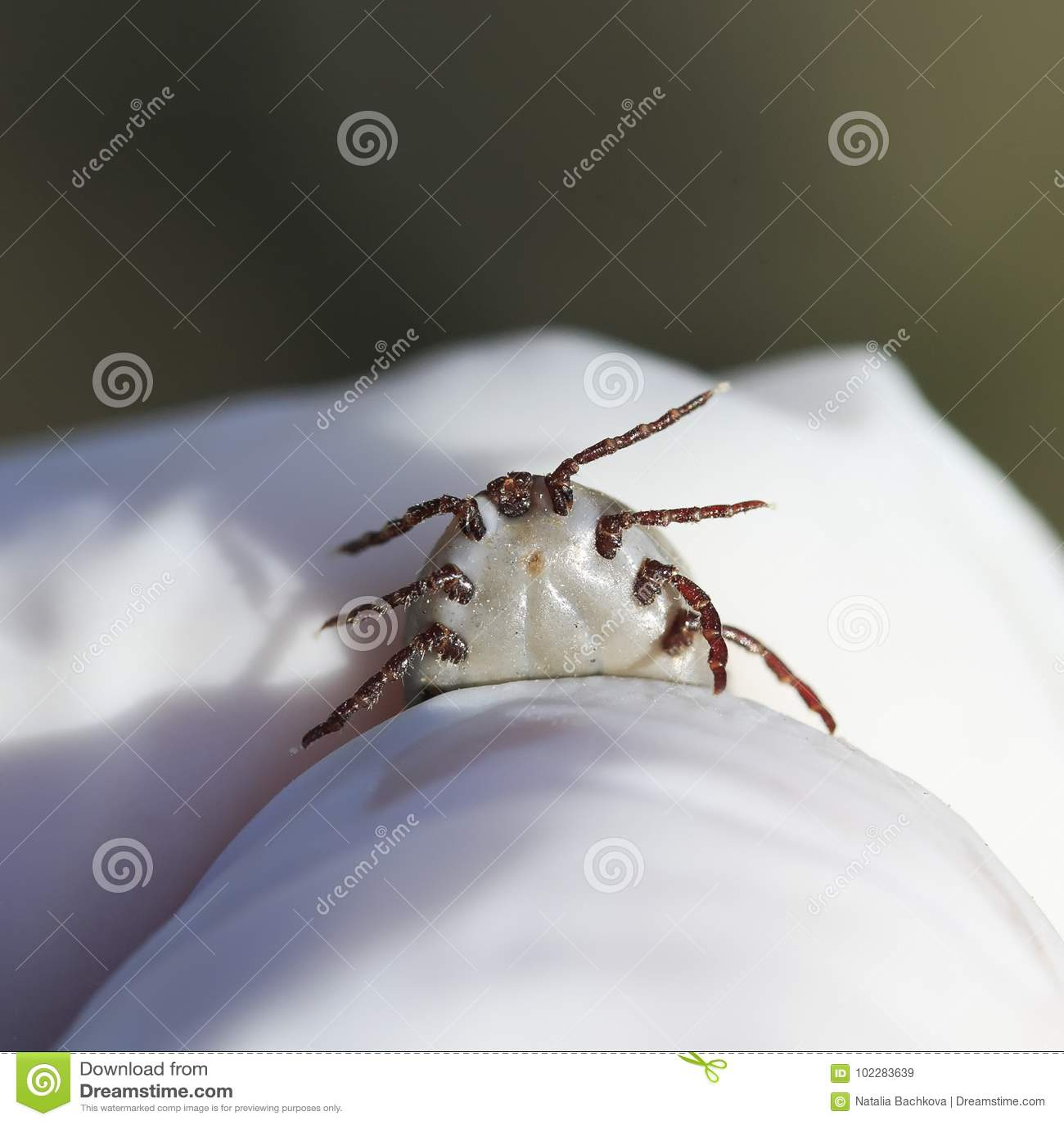 Рука в перчатках держит вредную контагиозную лепту насекомого извлеченный от