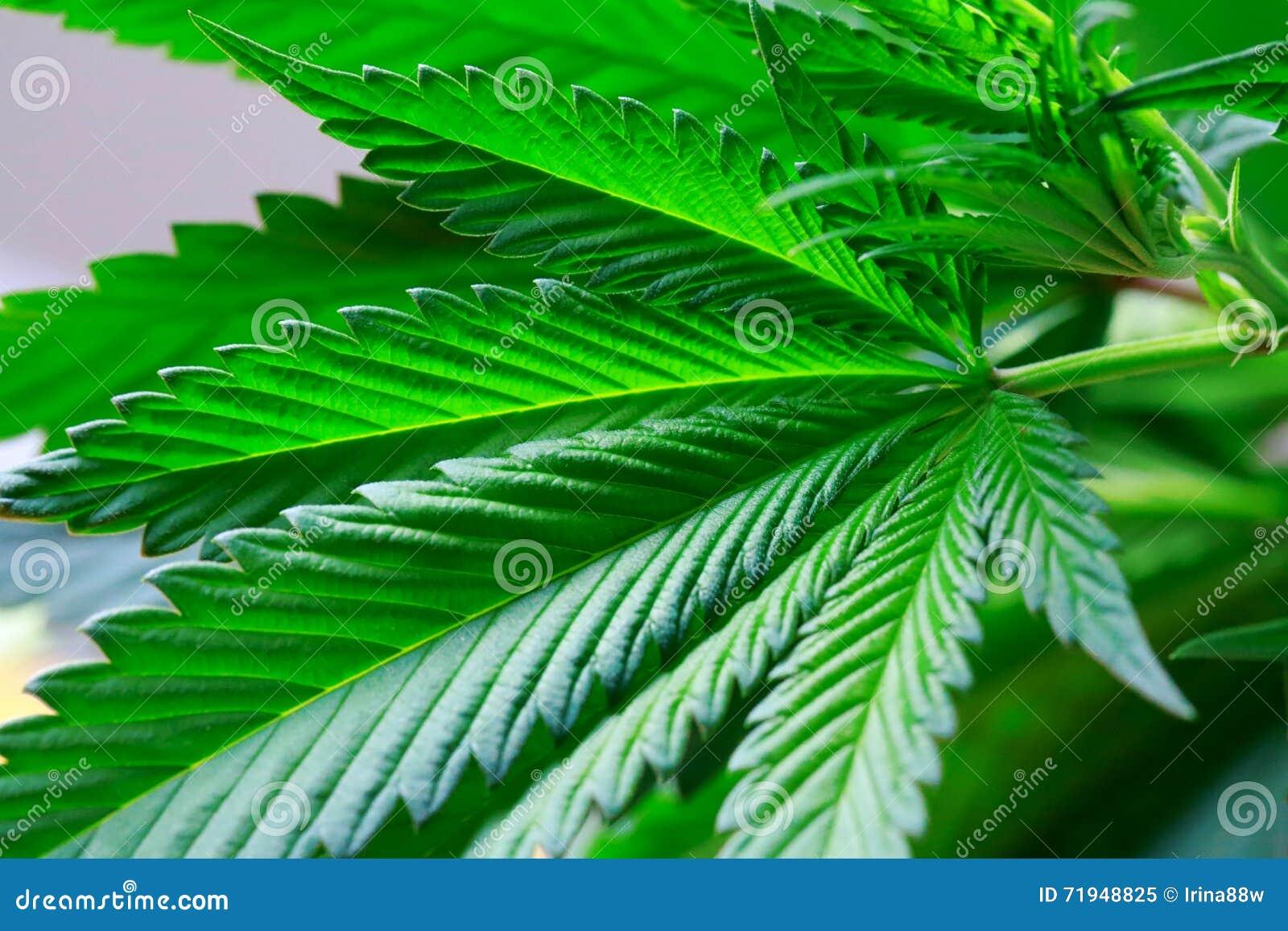 Рука держит макрос листьев зеленого цвета марихуаны свежих больших (смогите