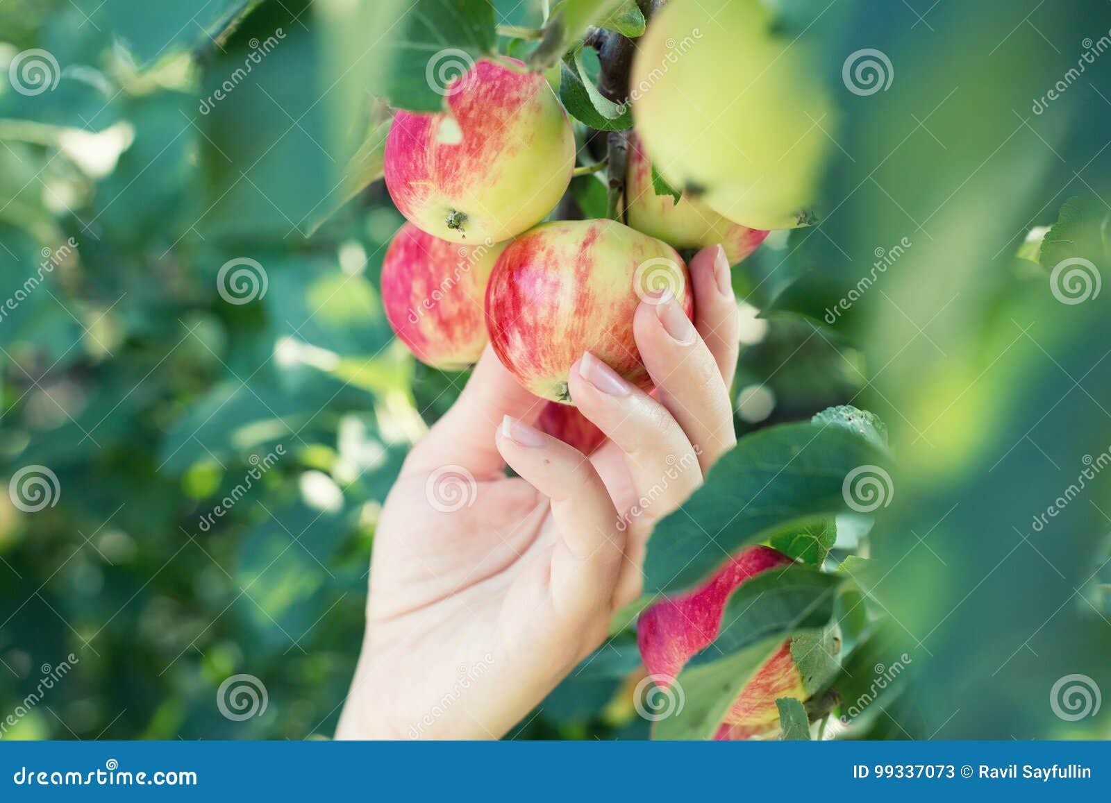 Рука женщины выбирая красное зрелое яблоко от яблони