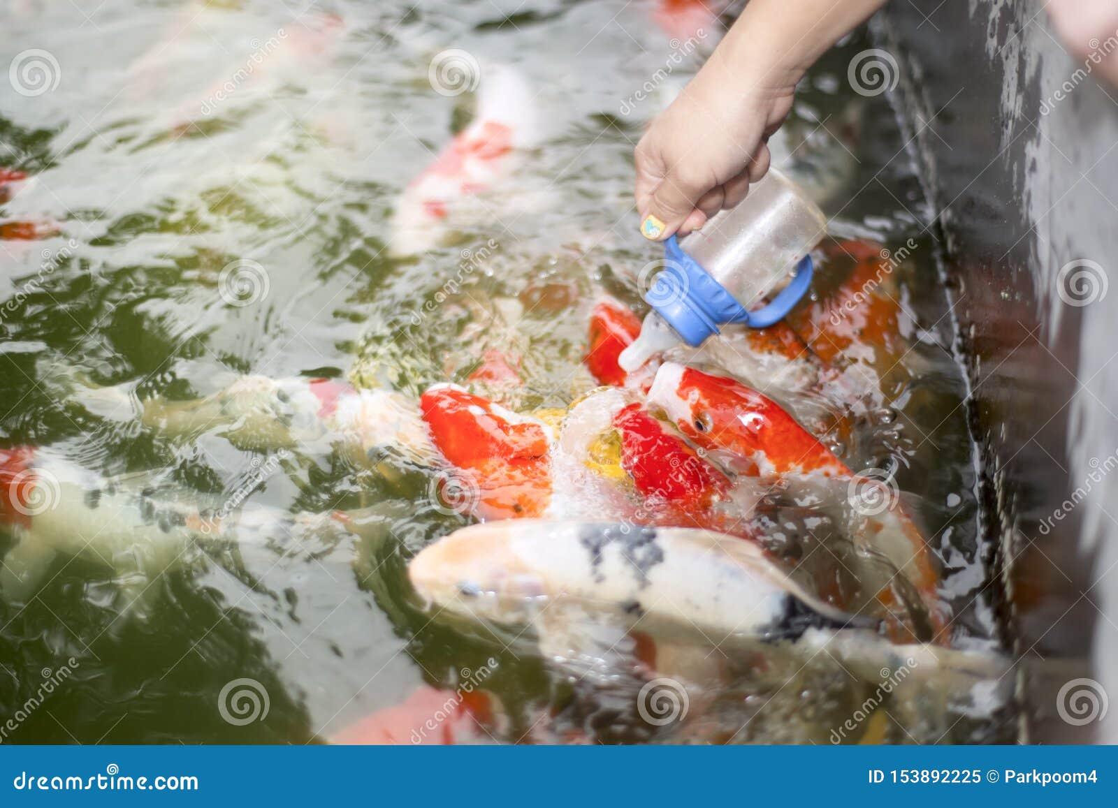 Рука женщины кормить красочные рыб карпа
