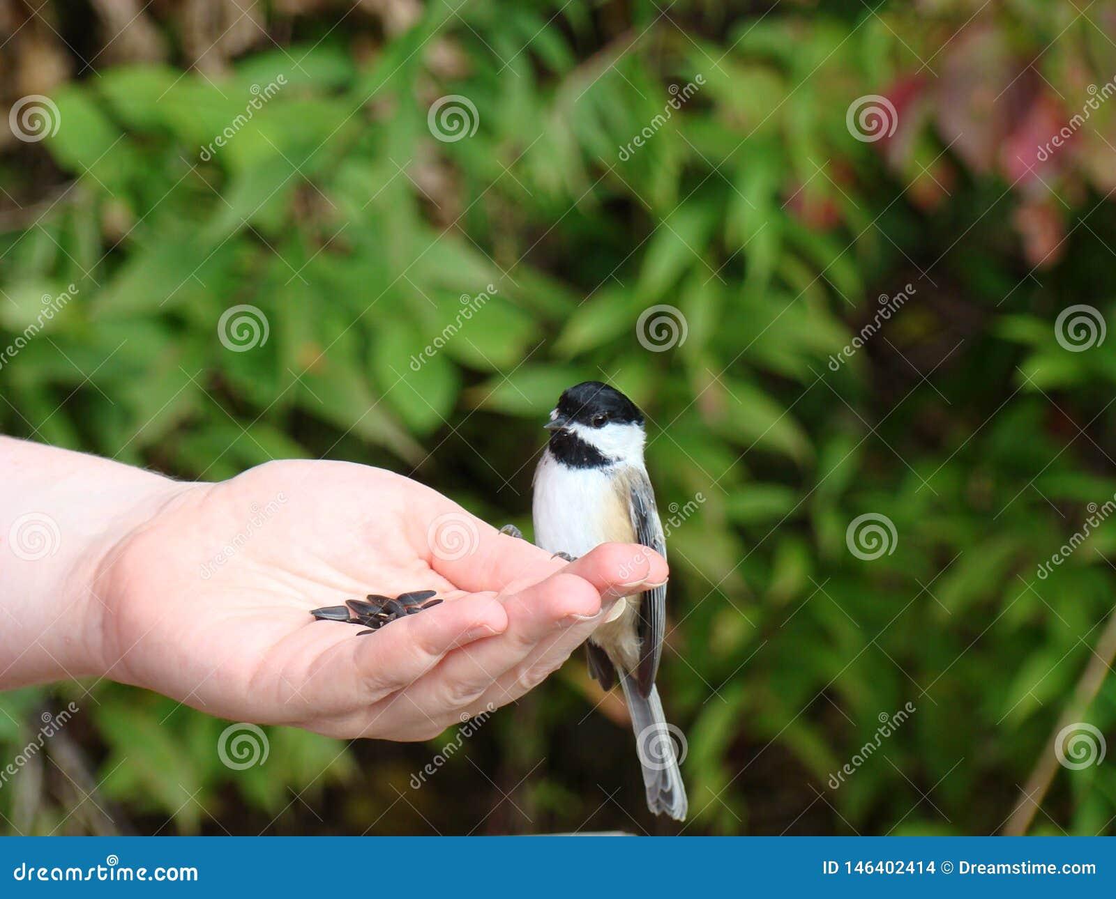 Рука кормить черный покрытый chickadee