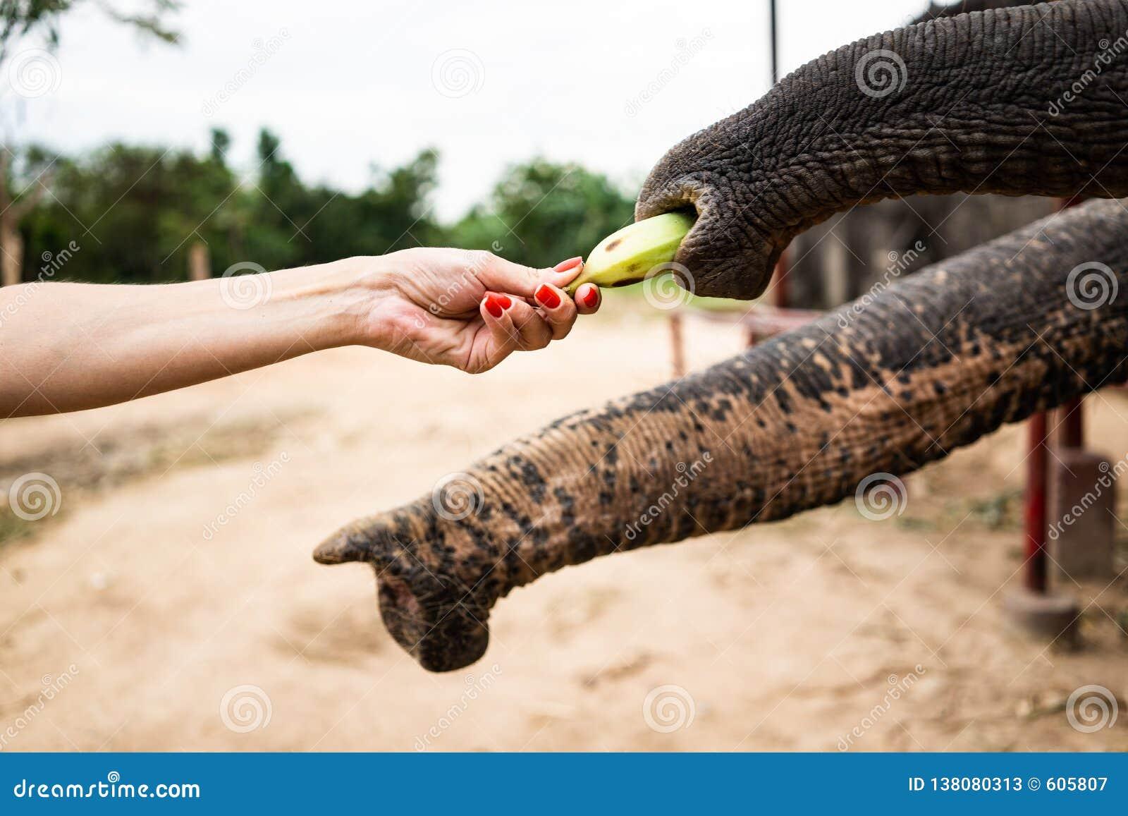 Рука при банан подавая к слону Рука людей питание банан к хоботу слона в парке зоопарка публикация