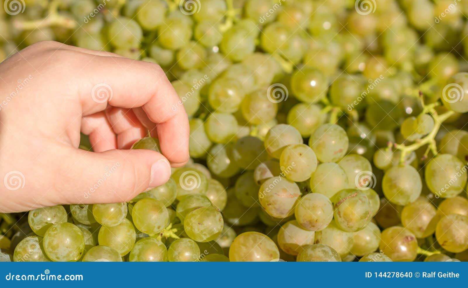 Рука ребенка пробует связку винограда на рынке