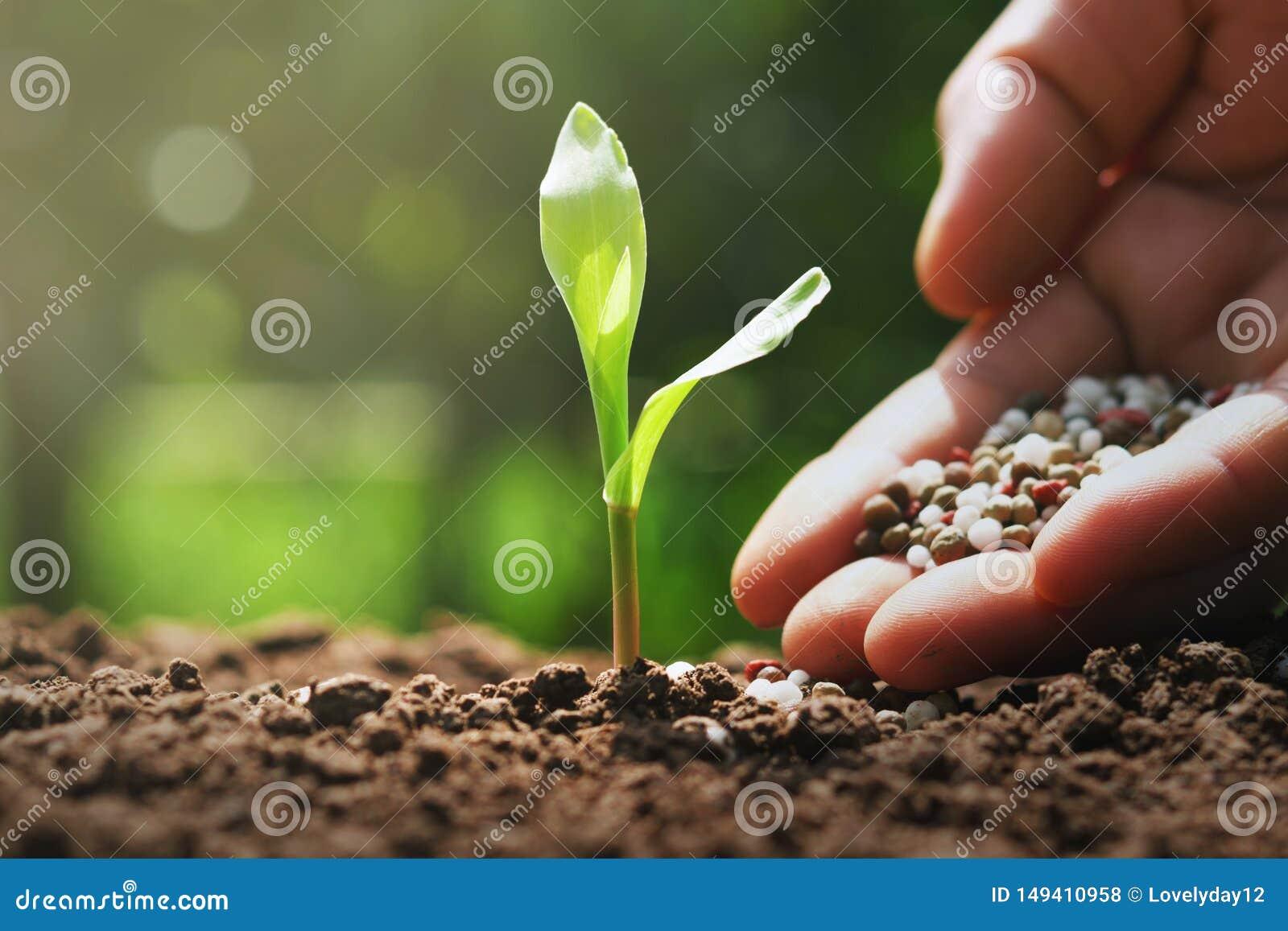 рука фермера льет химические удобрения для молодой мозоли в ферме