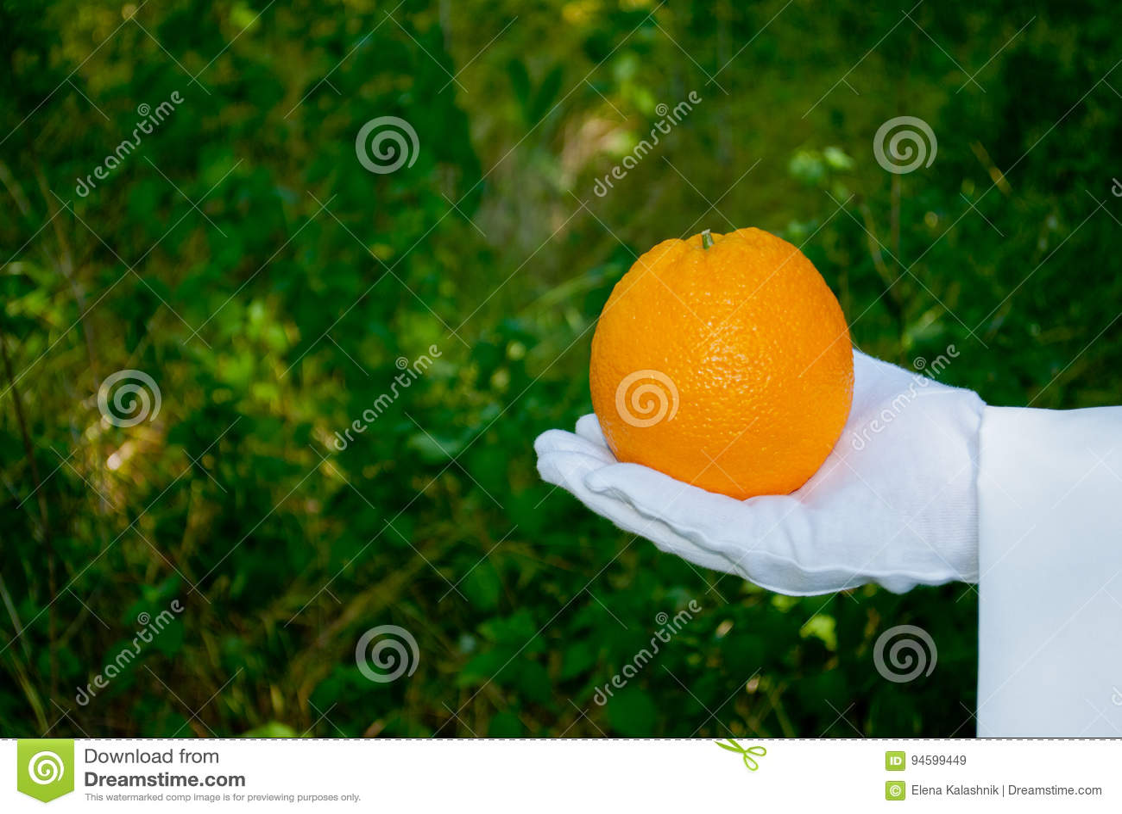 Рука ` s кельнера в белой перчатке держит апельсин против предпосылки куста