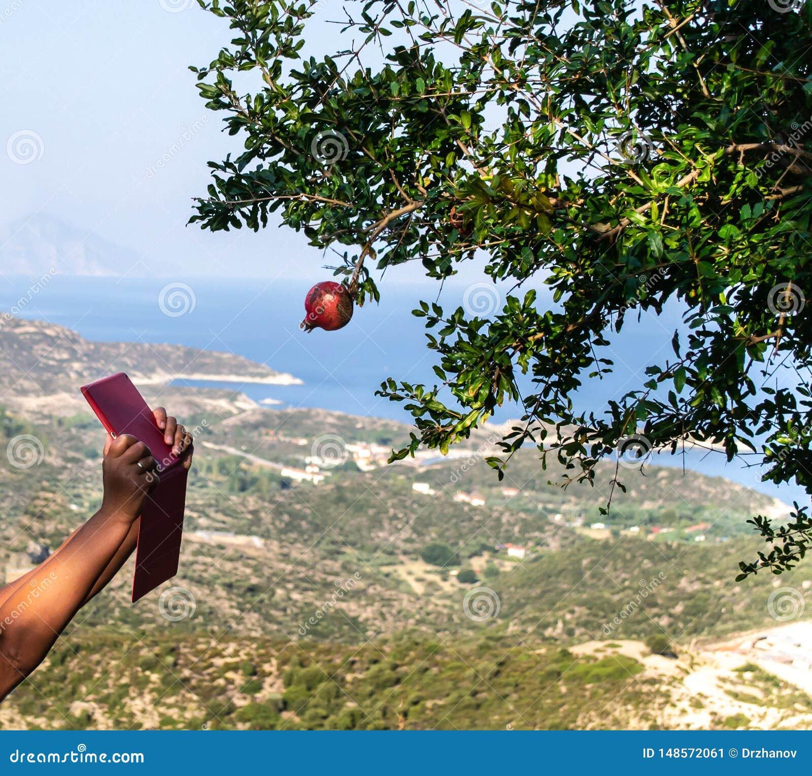Руки женщины с красным планшетом пробуют принять фото одиночного красного плода венисы на дереве, с изумляя взглядом на береге мо