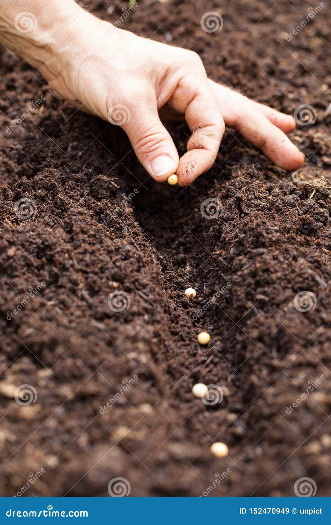 Руки кладя семя в землю - семя сои
