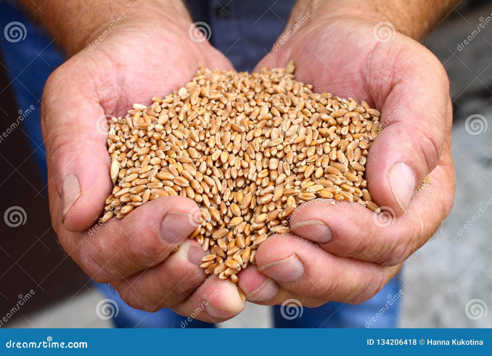 Руки людей держат зерна пшеницы