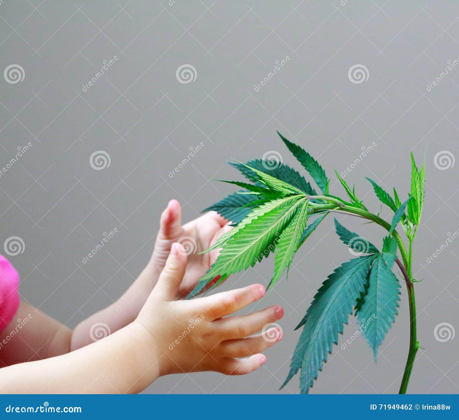 Руки ребенка и взрослого держат листья марихуаны (коноплю), завод пеньки