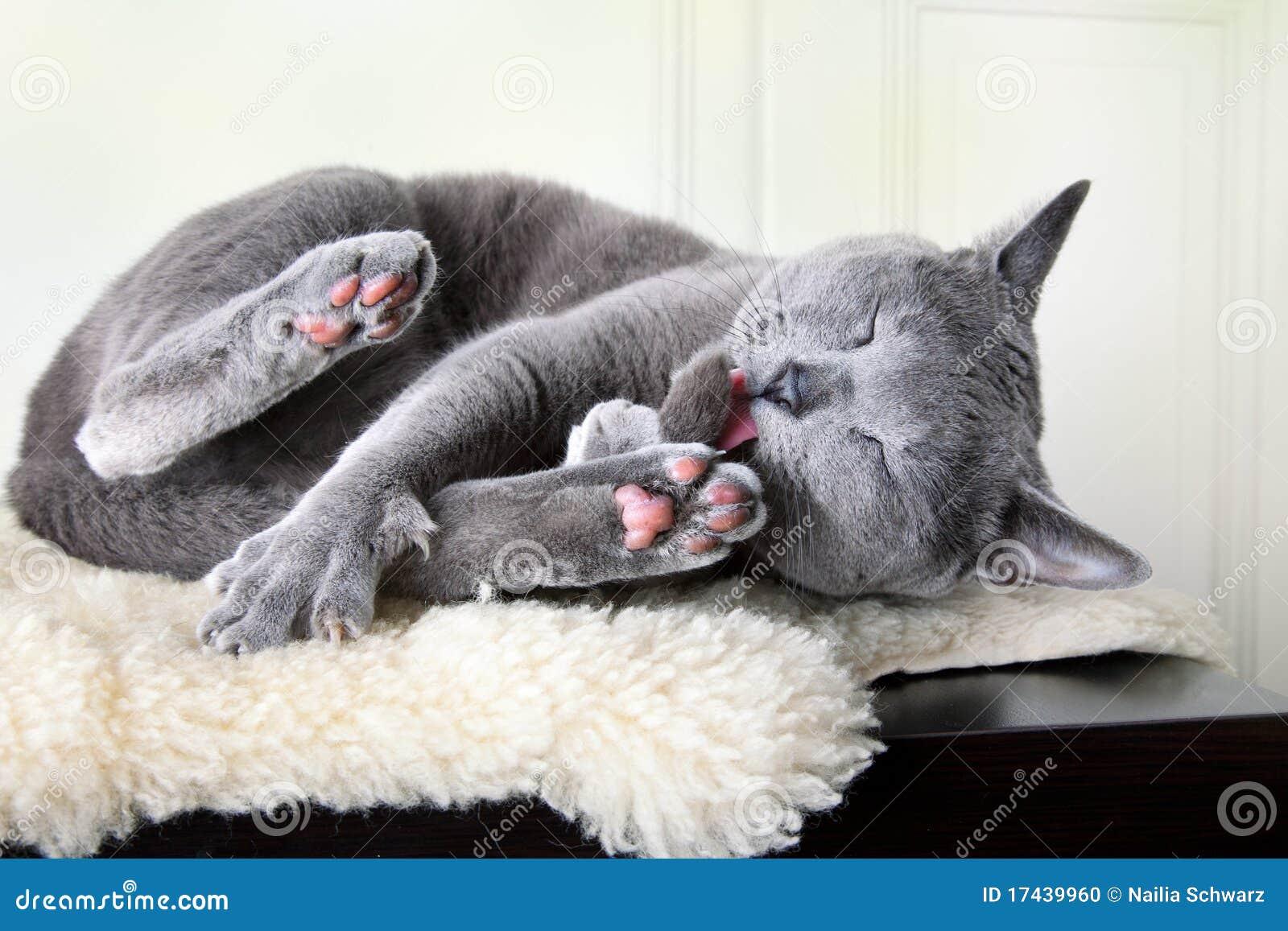 русский голубого кота