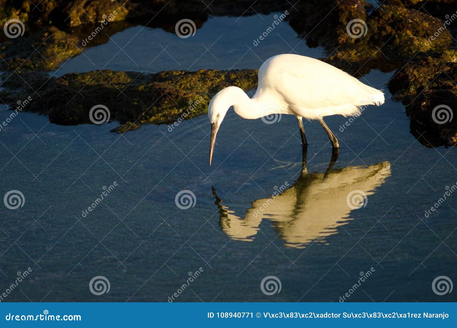 Рыбная ловля garzetta Egretta маленького egret