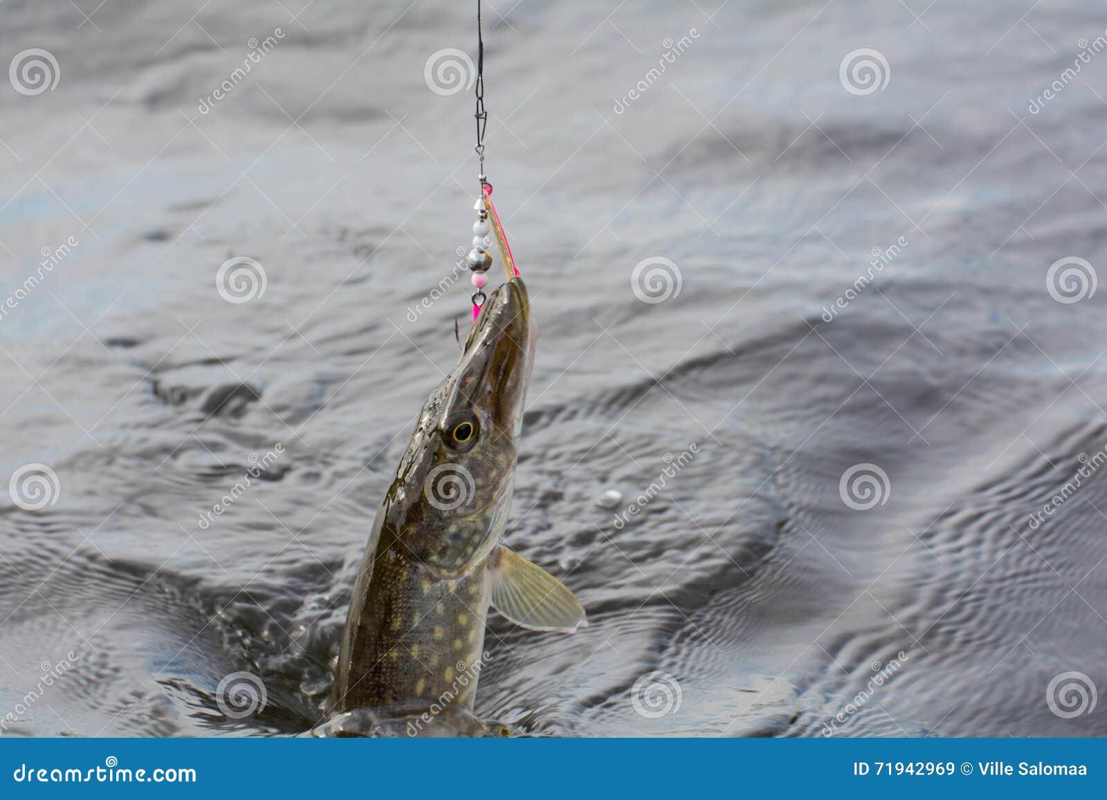 Рыбная ловля шипа в лете Финляндии