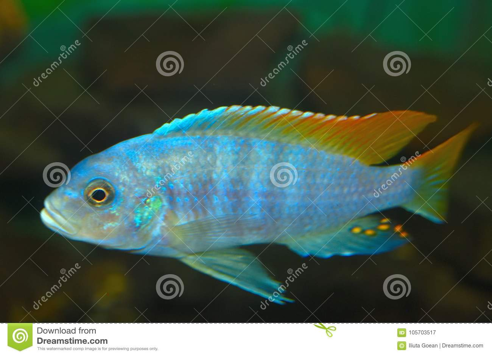 Рыбы аквариума electra Placidochromis протокола доступа к хост-машине глубоководья