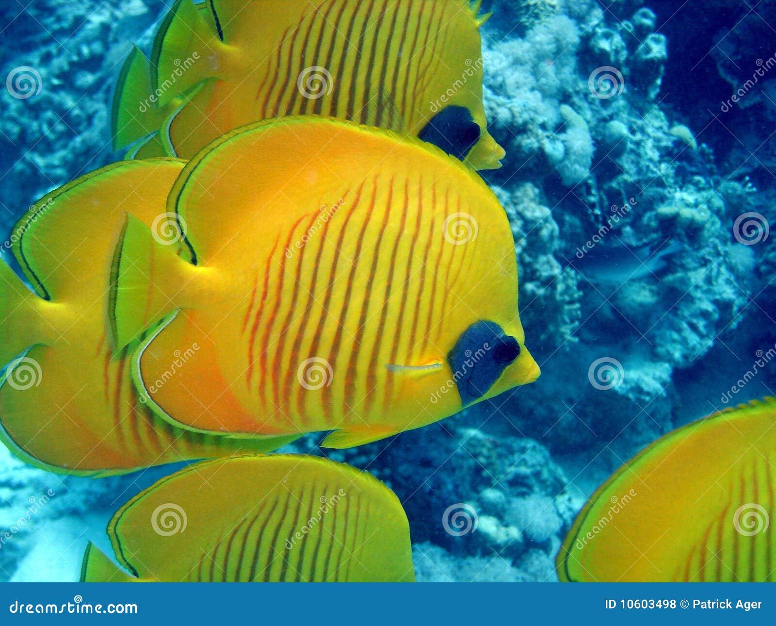 рыбы бабочки