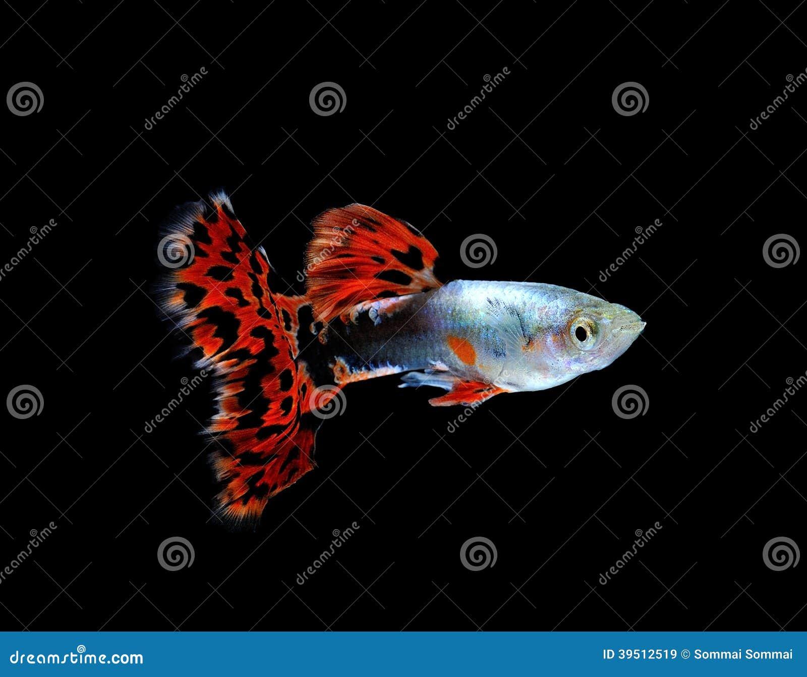 Рыбы гуппи изолированные на черноте