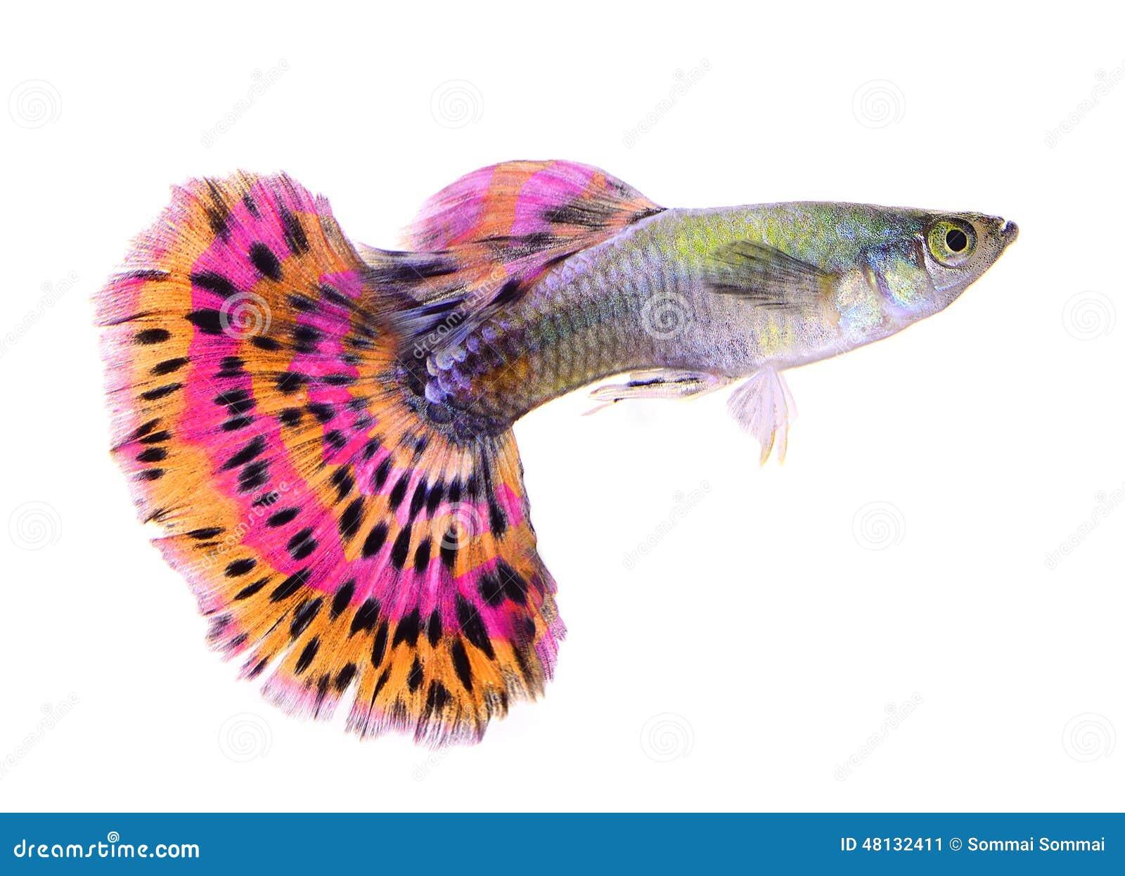 Рыбы гуппи на белой предпосылке
