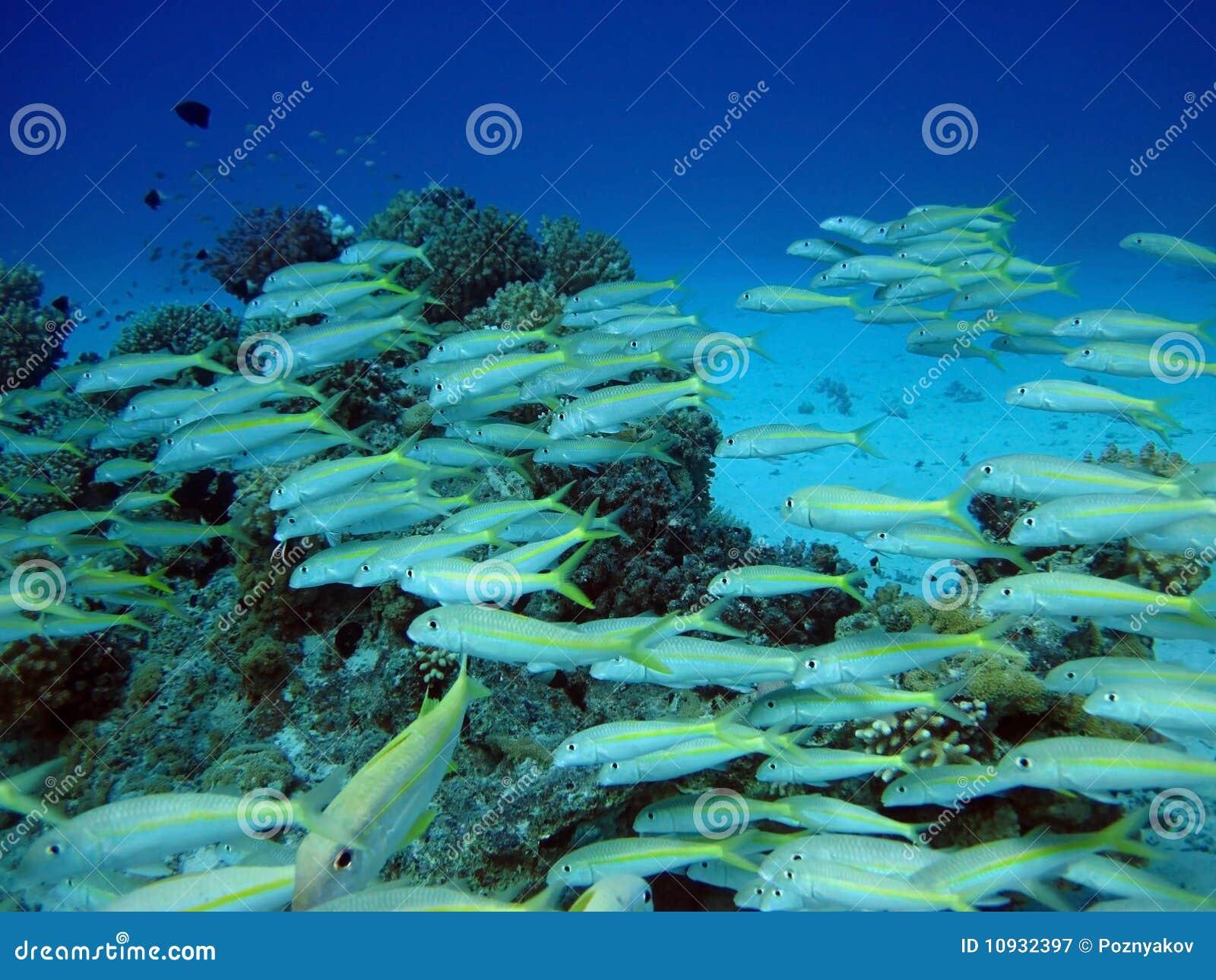 рыбы Египета коралла собирают Красное Море