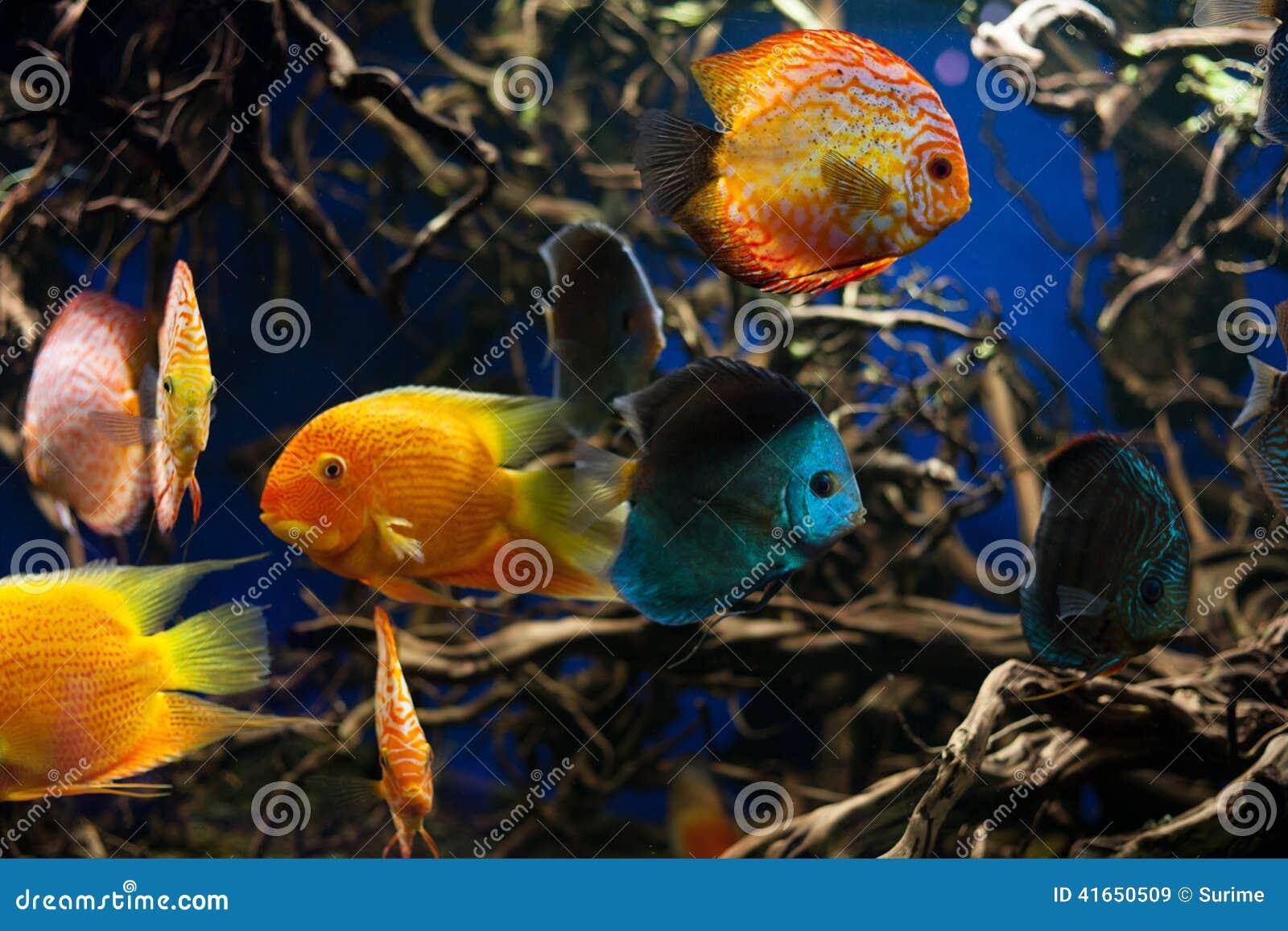 Рыбы диска