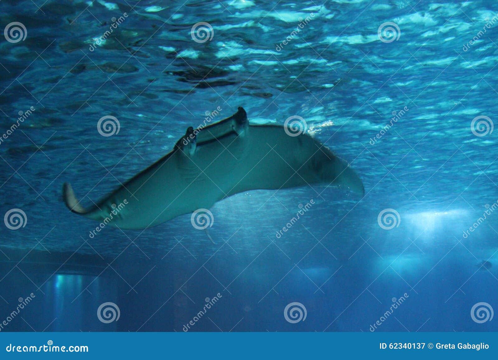 Рыбы морского дьявола плавая под водой