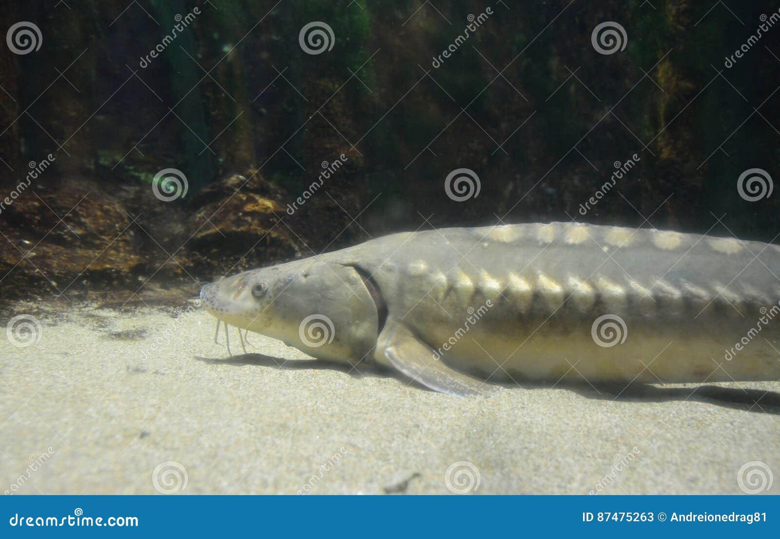 Рыбы стерляжины