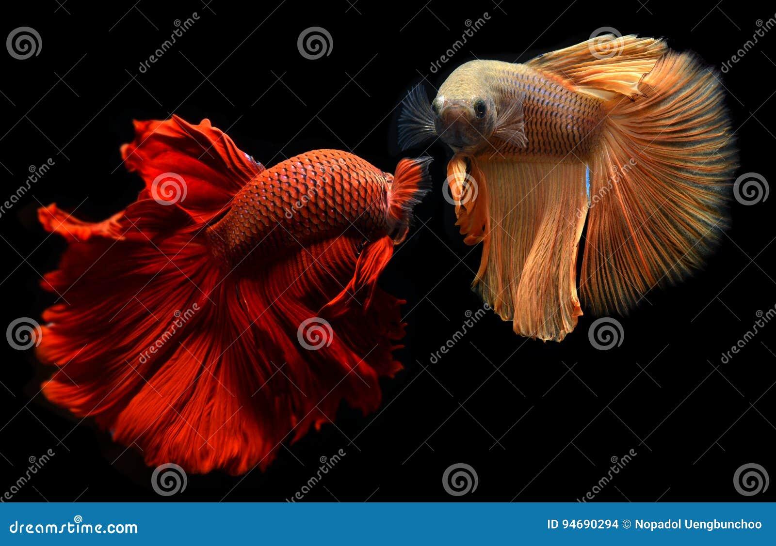 Рыбы Betta или Saimese воюя