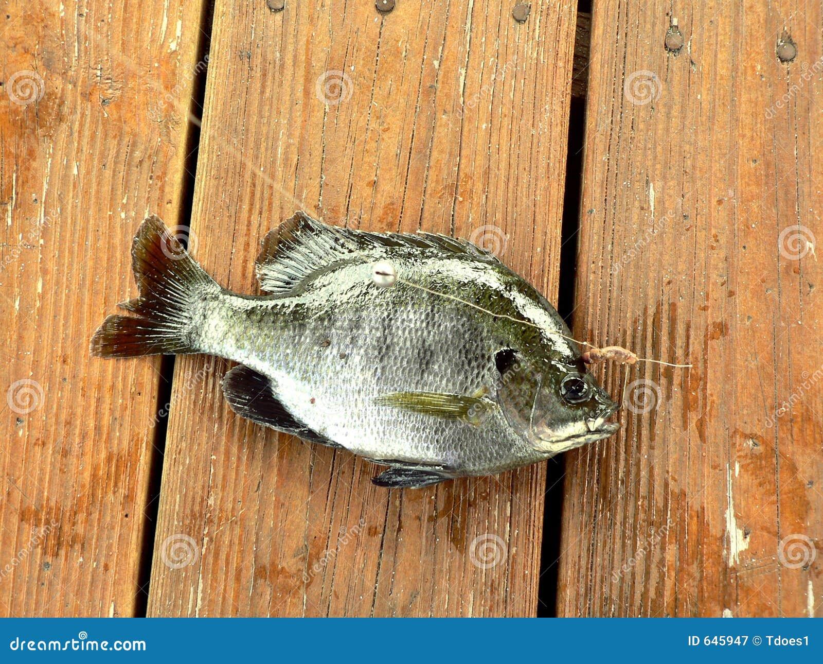 Download рыбы bluegill стоковое изображение. изображение насчитывающей bluebottles - 645947