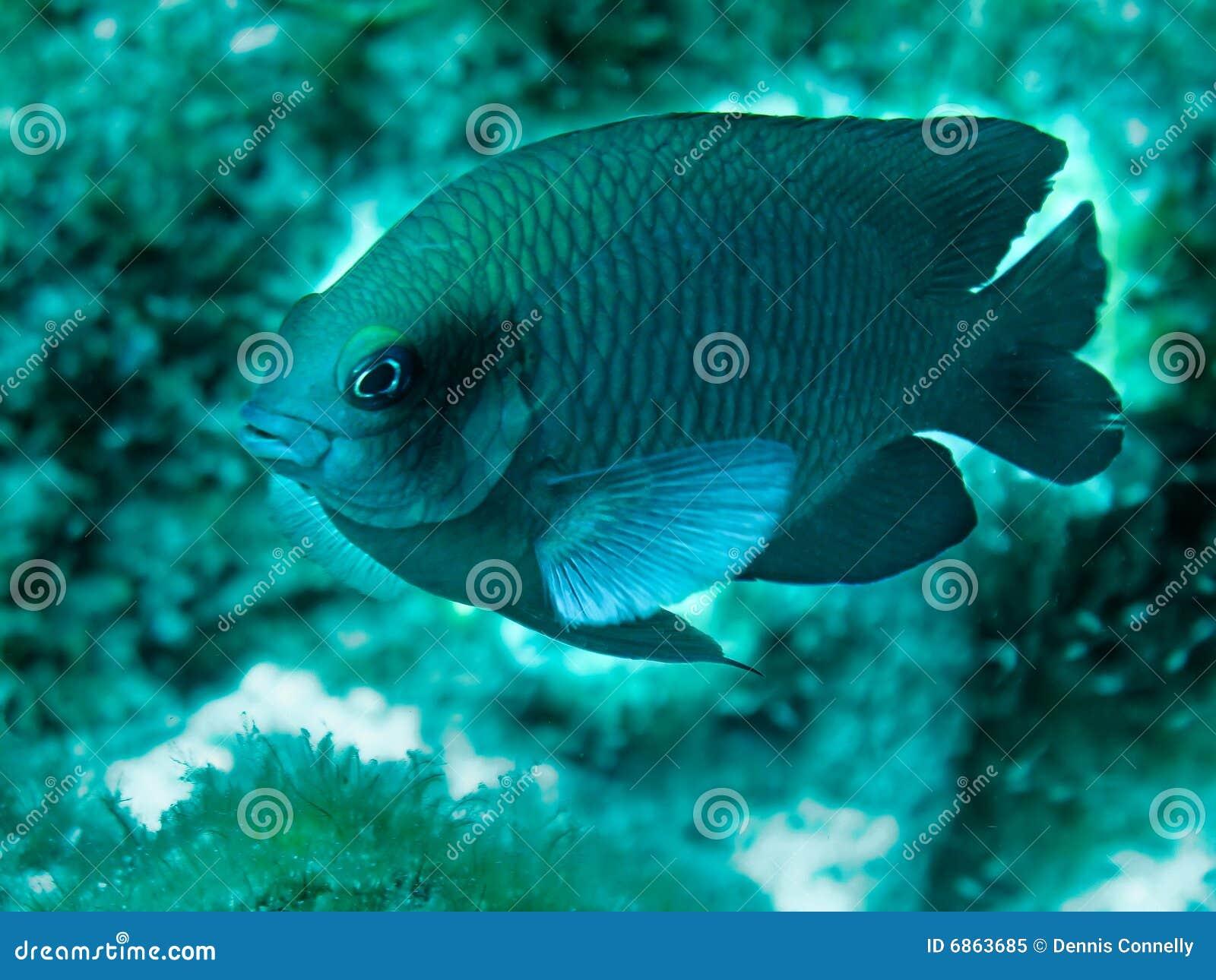 рыбы damsel