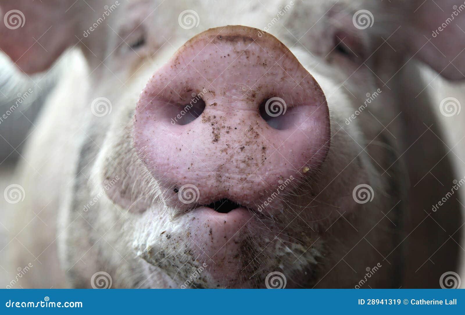 Рыльце свиньи