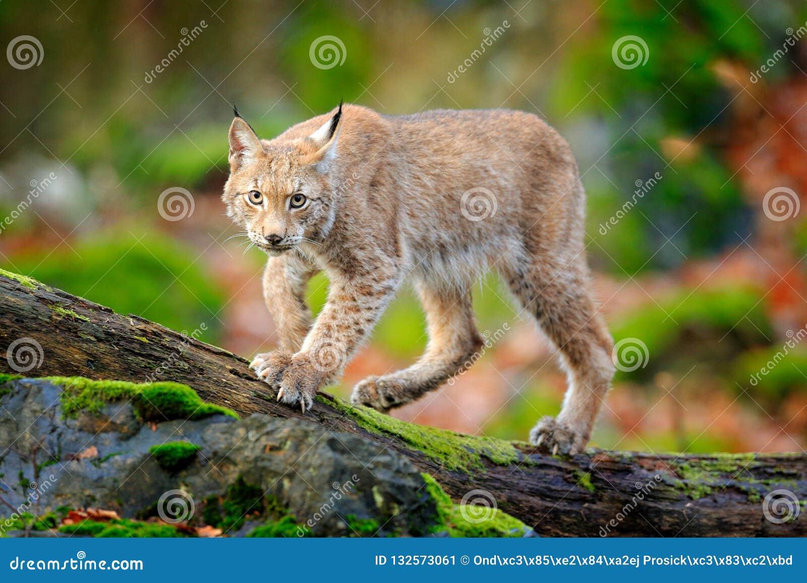 Рысь в лесе идя евроазиатский дикий кот на зеленом мшистом камне, зеленых деревьях в предпосылке Дикий кот в среду обитания приро