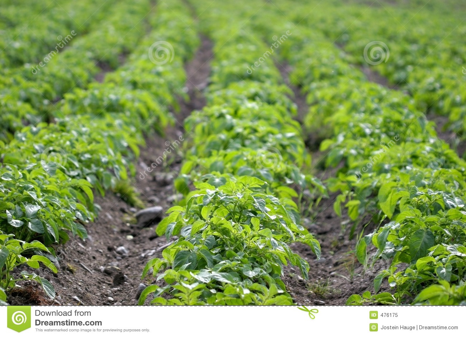 рядки картошки