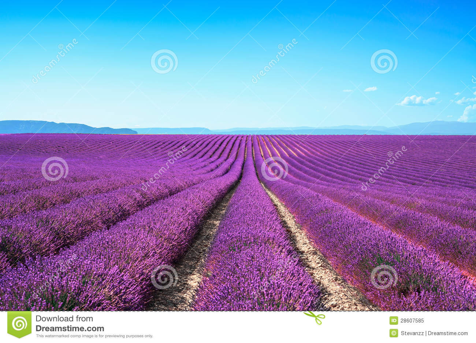 Рядки полей цветка лаванды зацветая бесконечные. Valensole Провансаль
