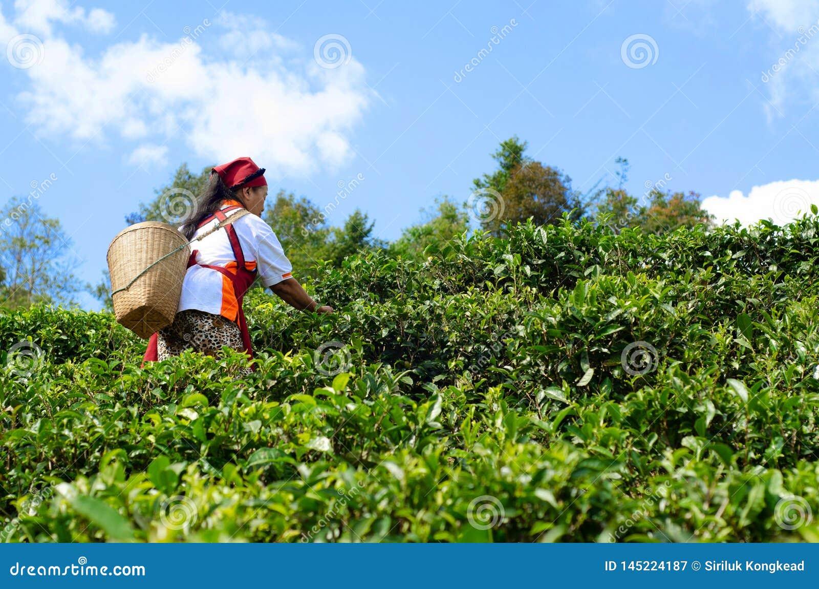 Садовники собирают листья чая