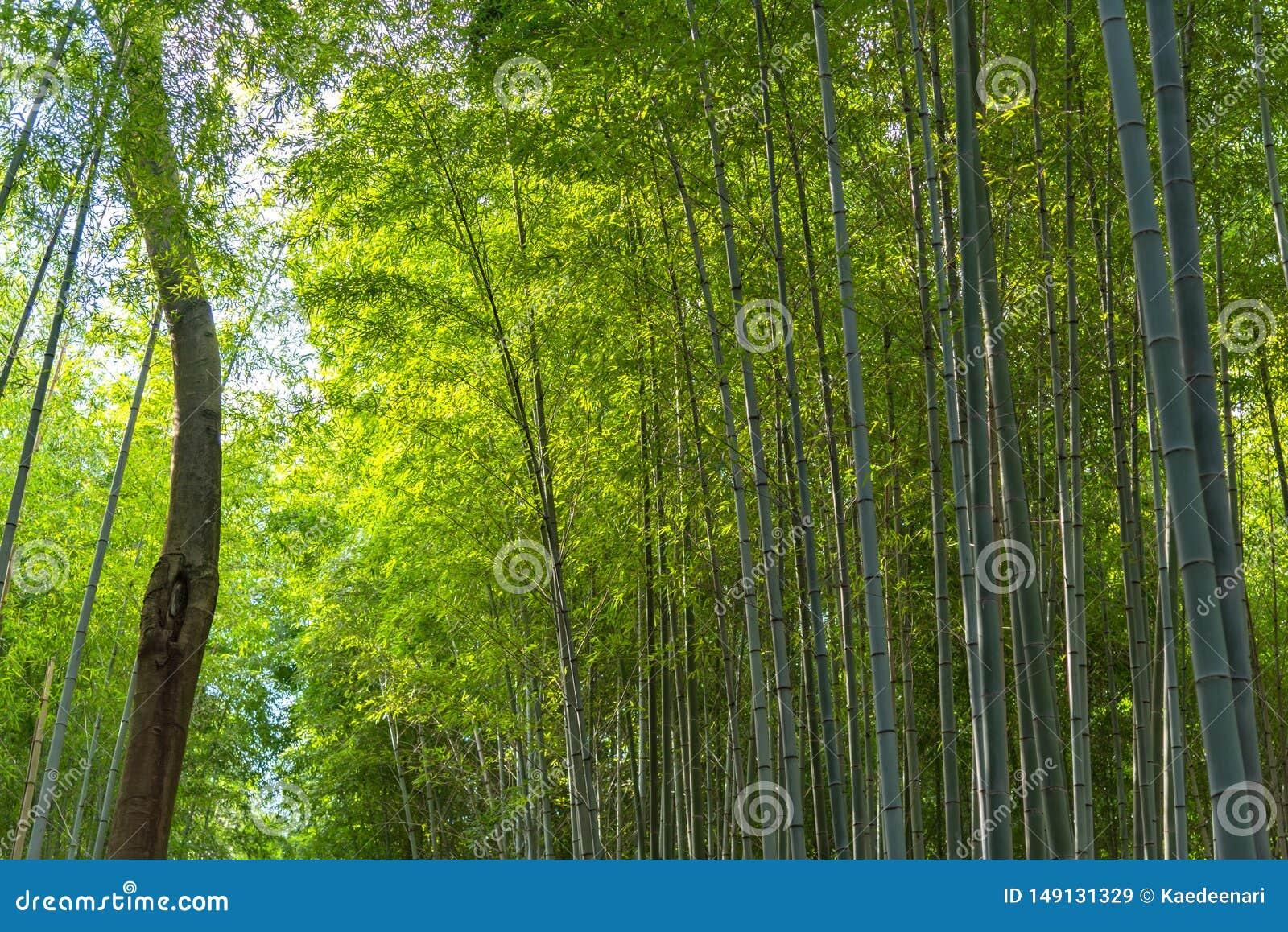 Сад дзэна рощи Arashiyama бамбуковый, естественный лес бамбука в Arashiyama, Киото