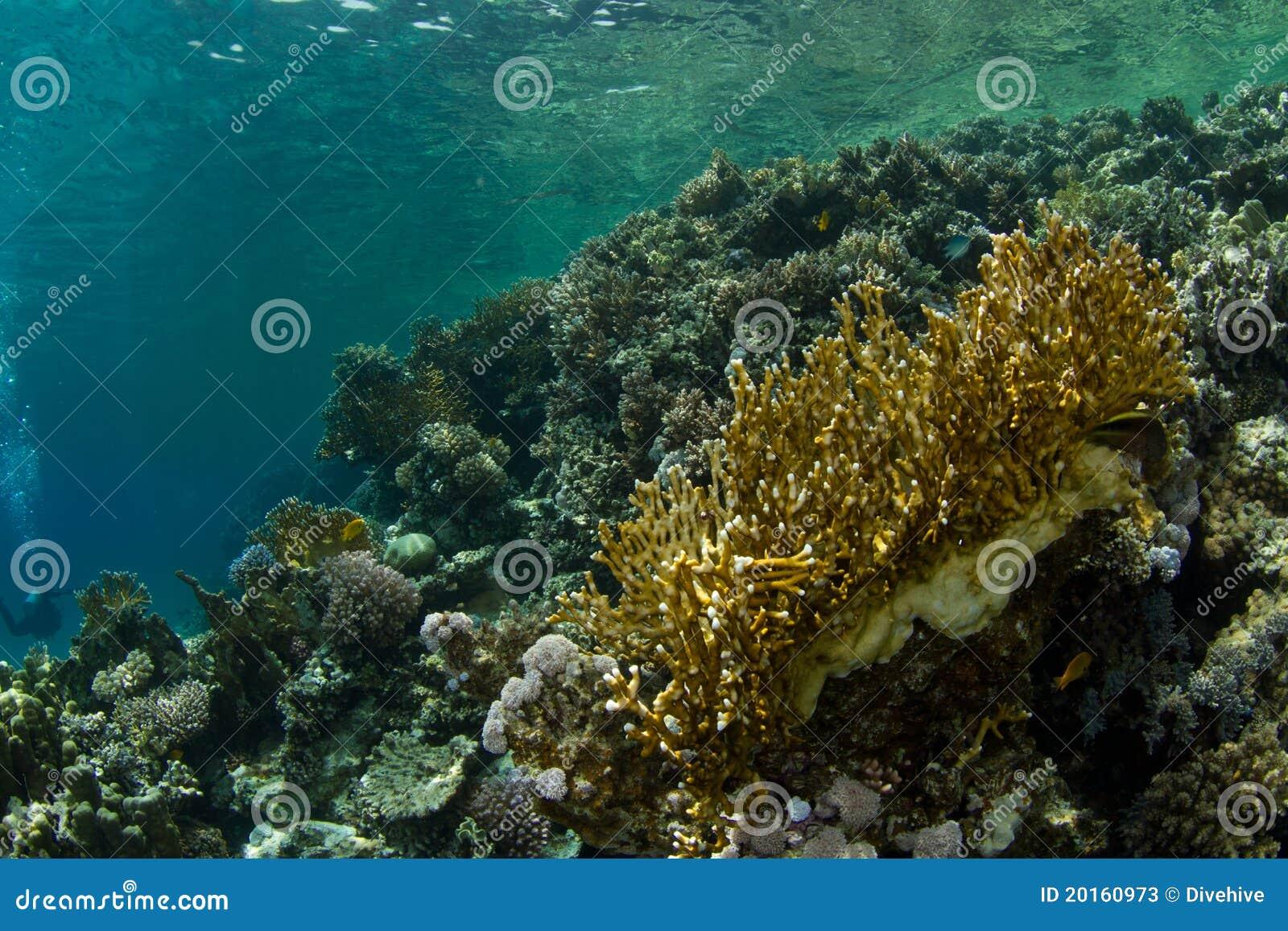 сад коралла