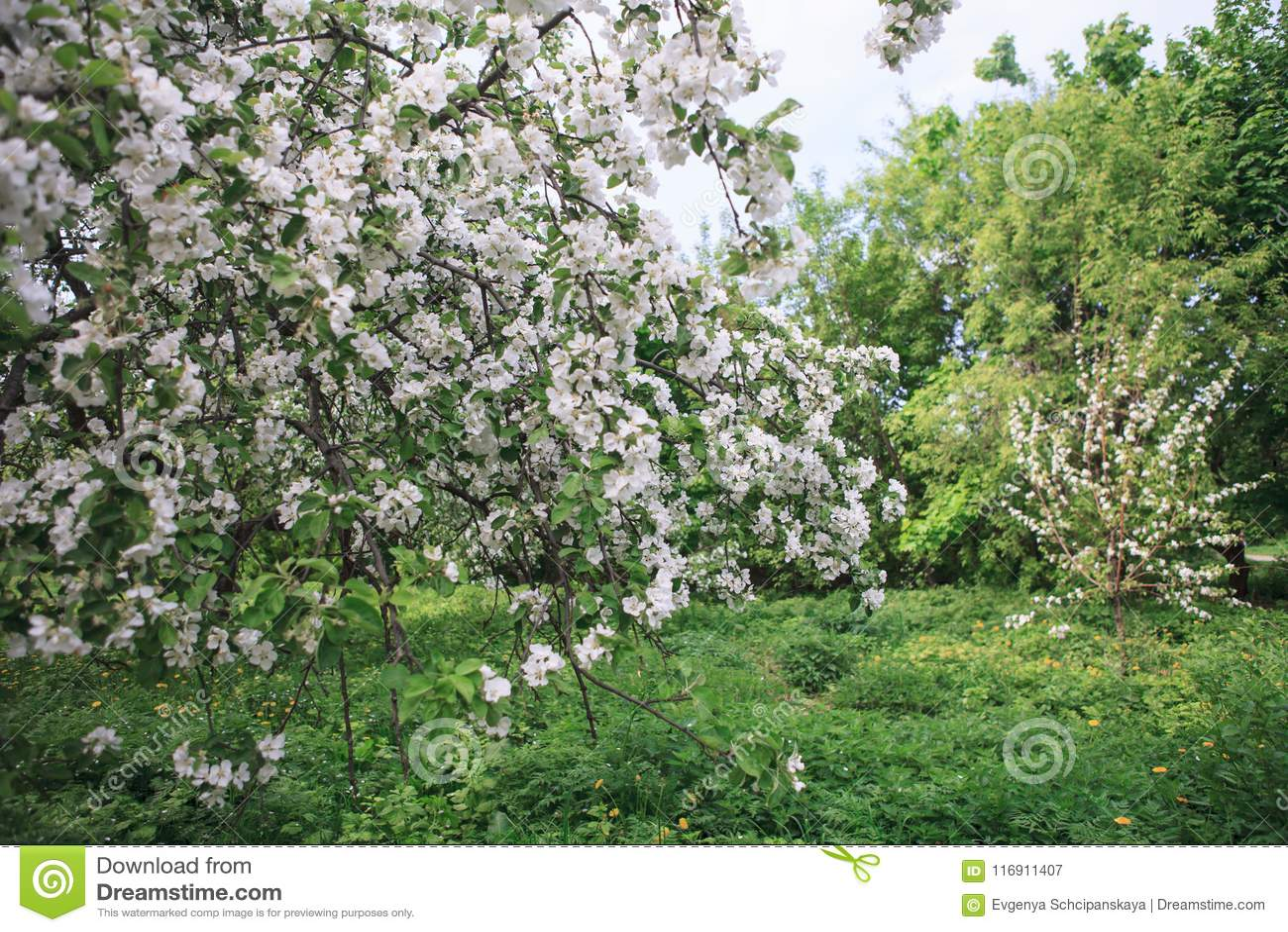 Сад Яблока зацветая на весне