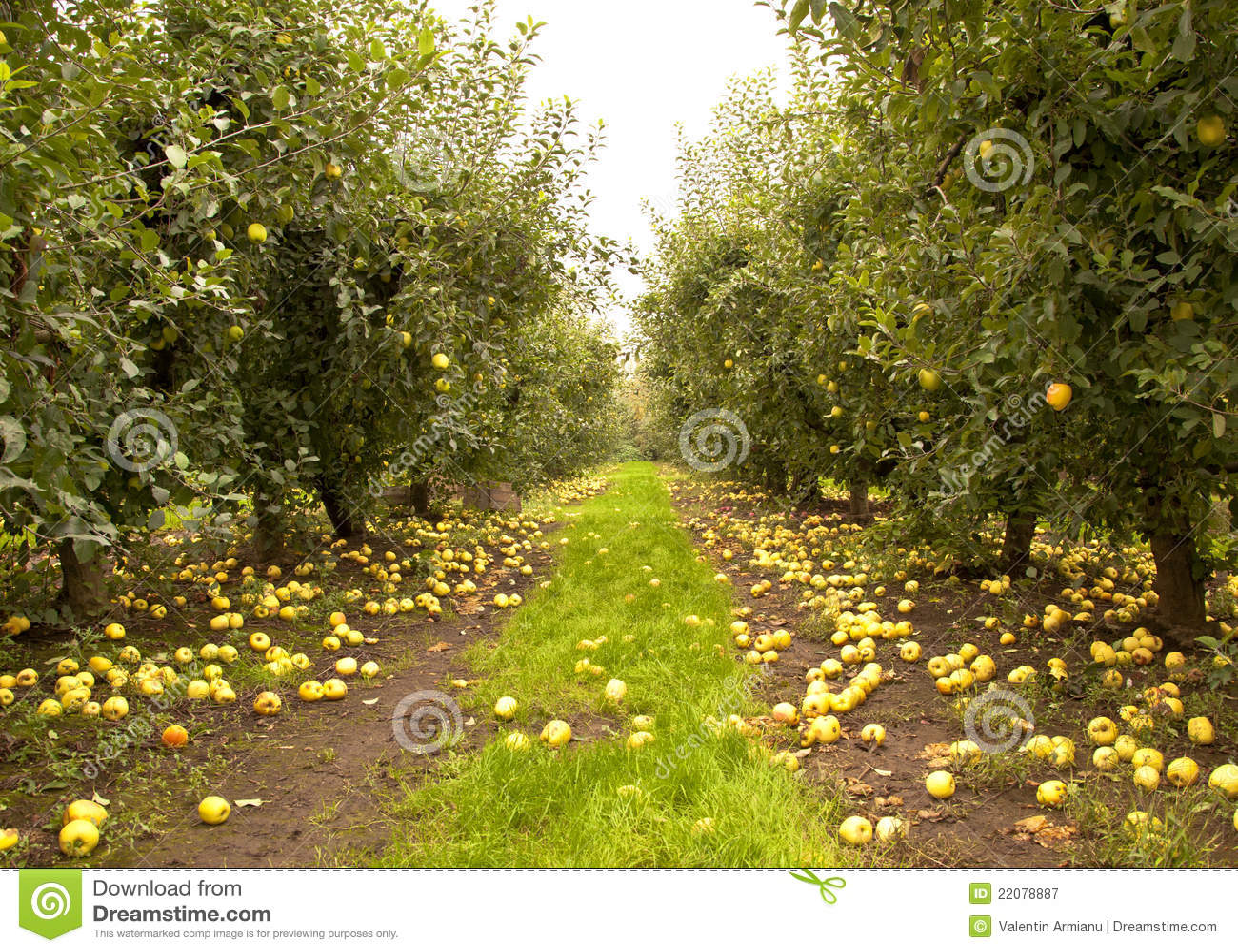 сад яблока