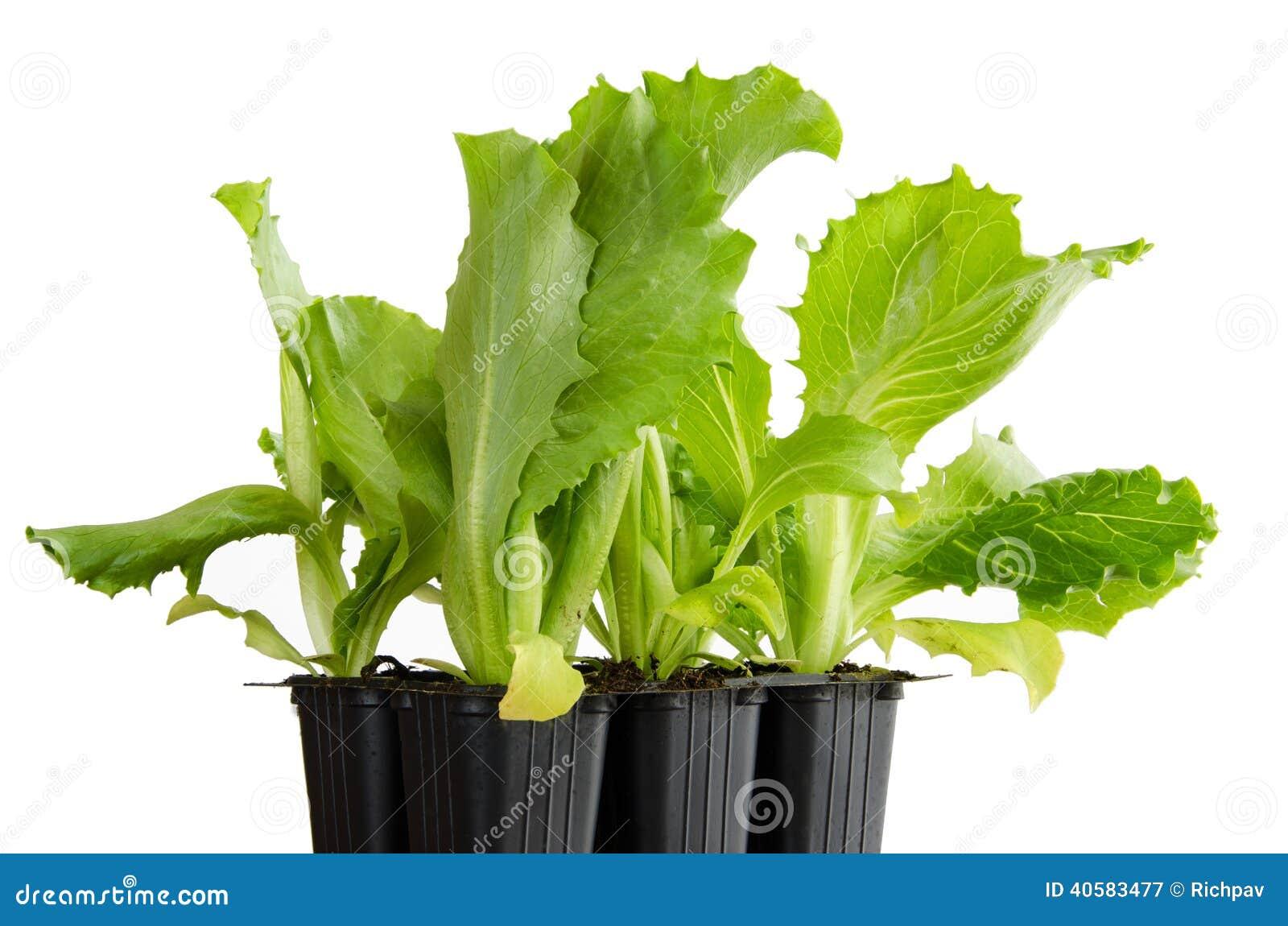 Саженцы салата