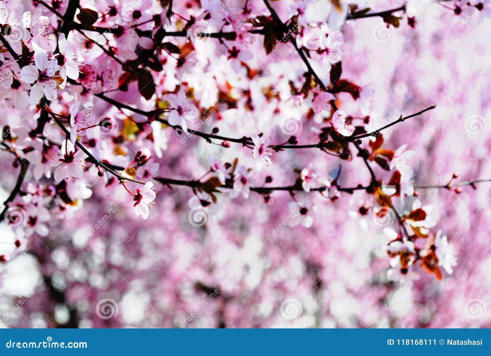 Сакура какой цвет