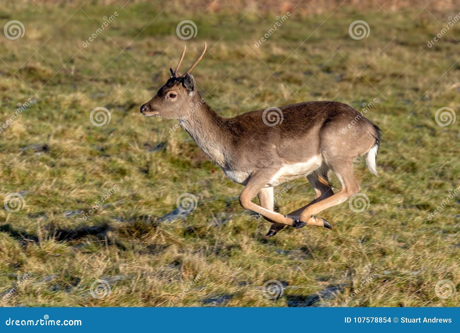 Самец оленя ланей - полет dama Dama полностью