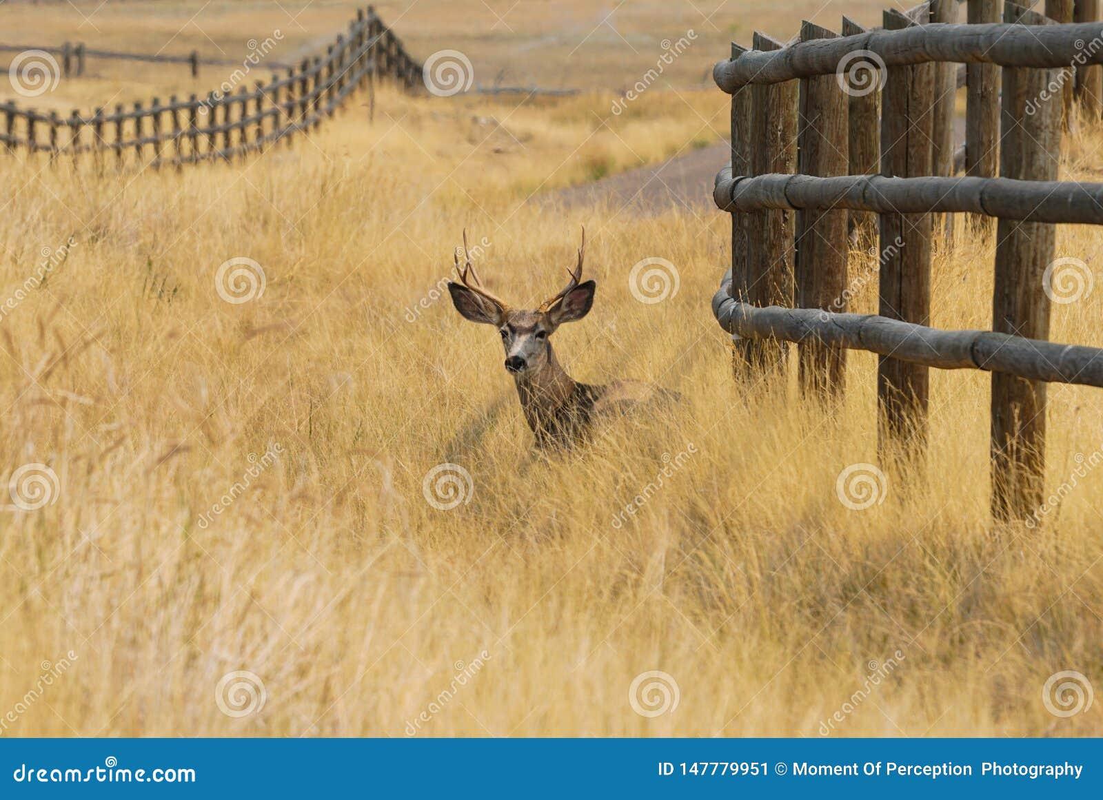 Самец оленя отдыхая в траве осени