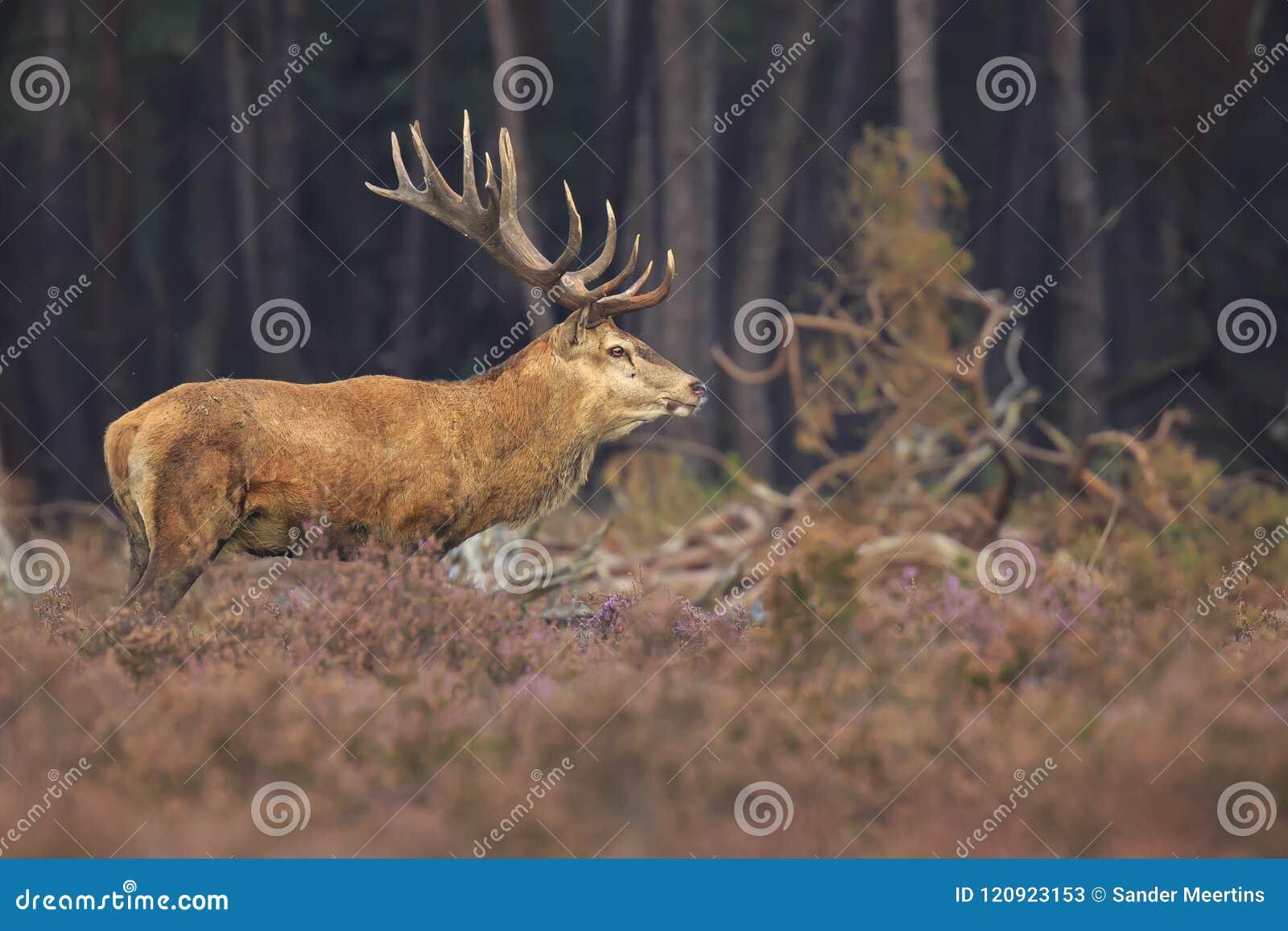 Самец оленя elaphus Cervus красных оленей в конце вересковой пустоши вверх
