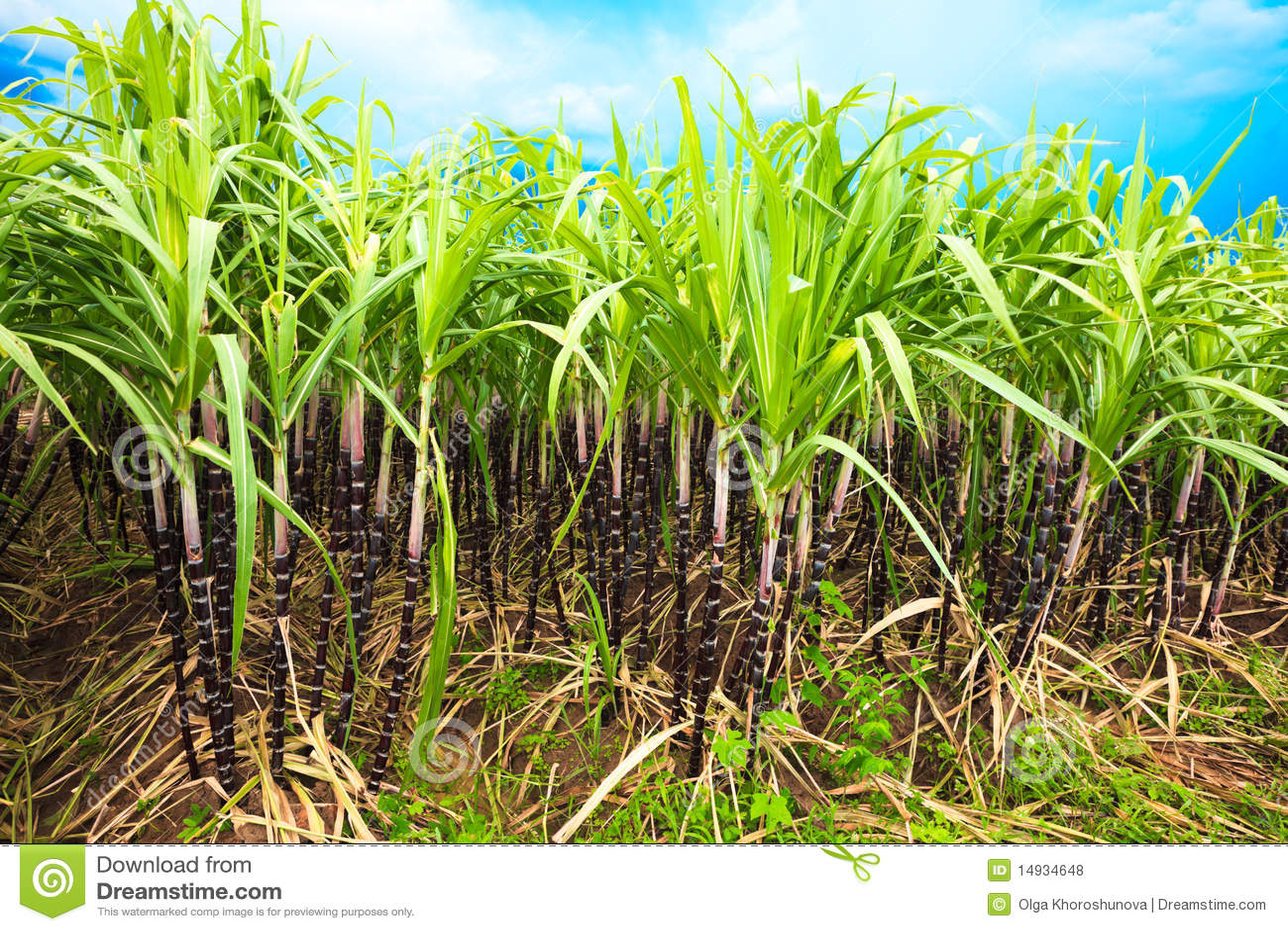 сахарный тростник фото