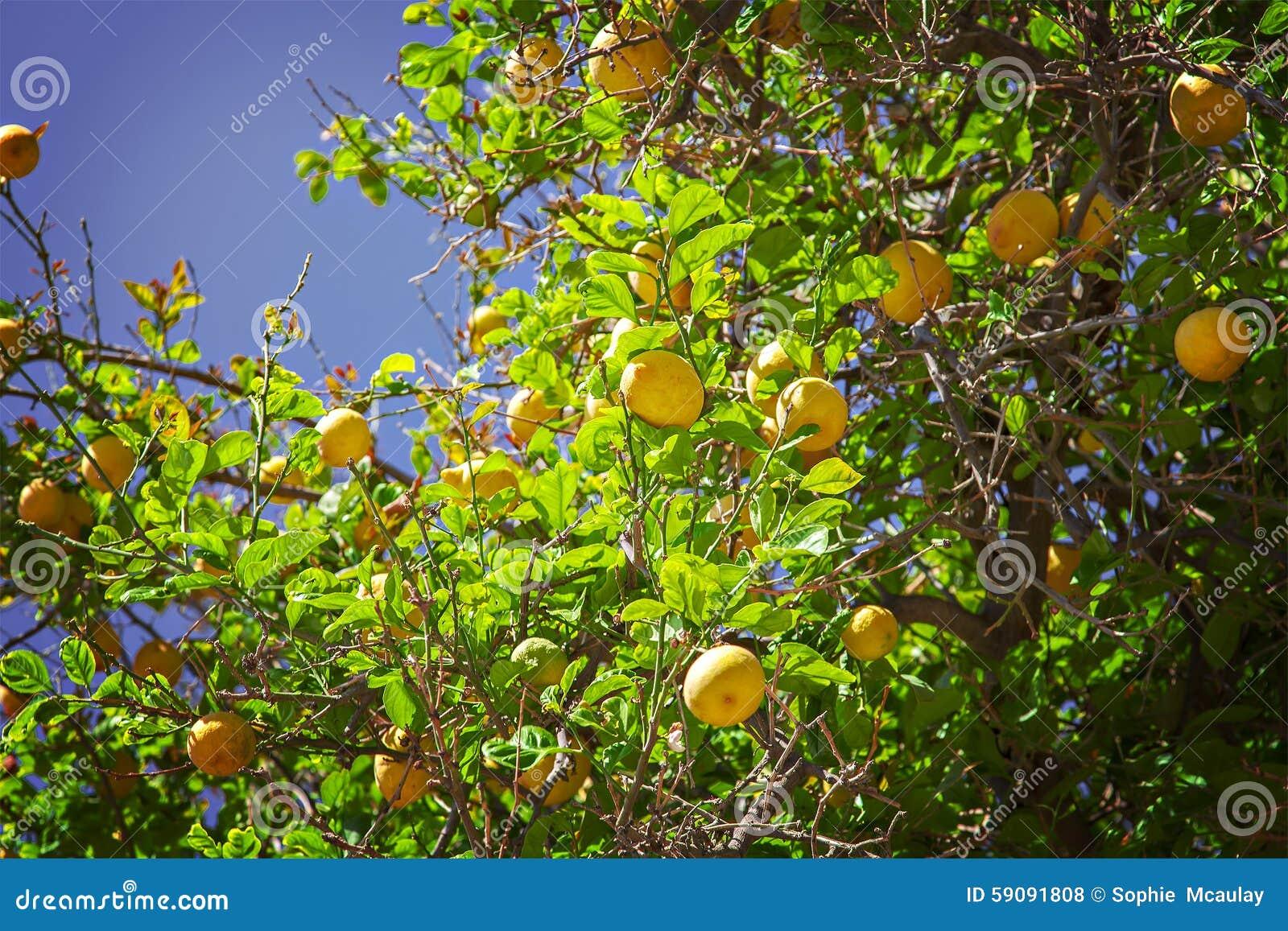 сбор винограда вала воспроизводства лимона книги ботанический