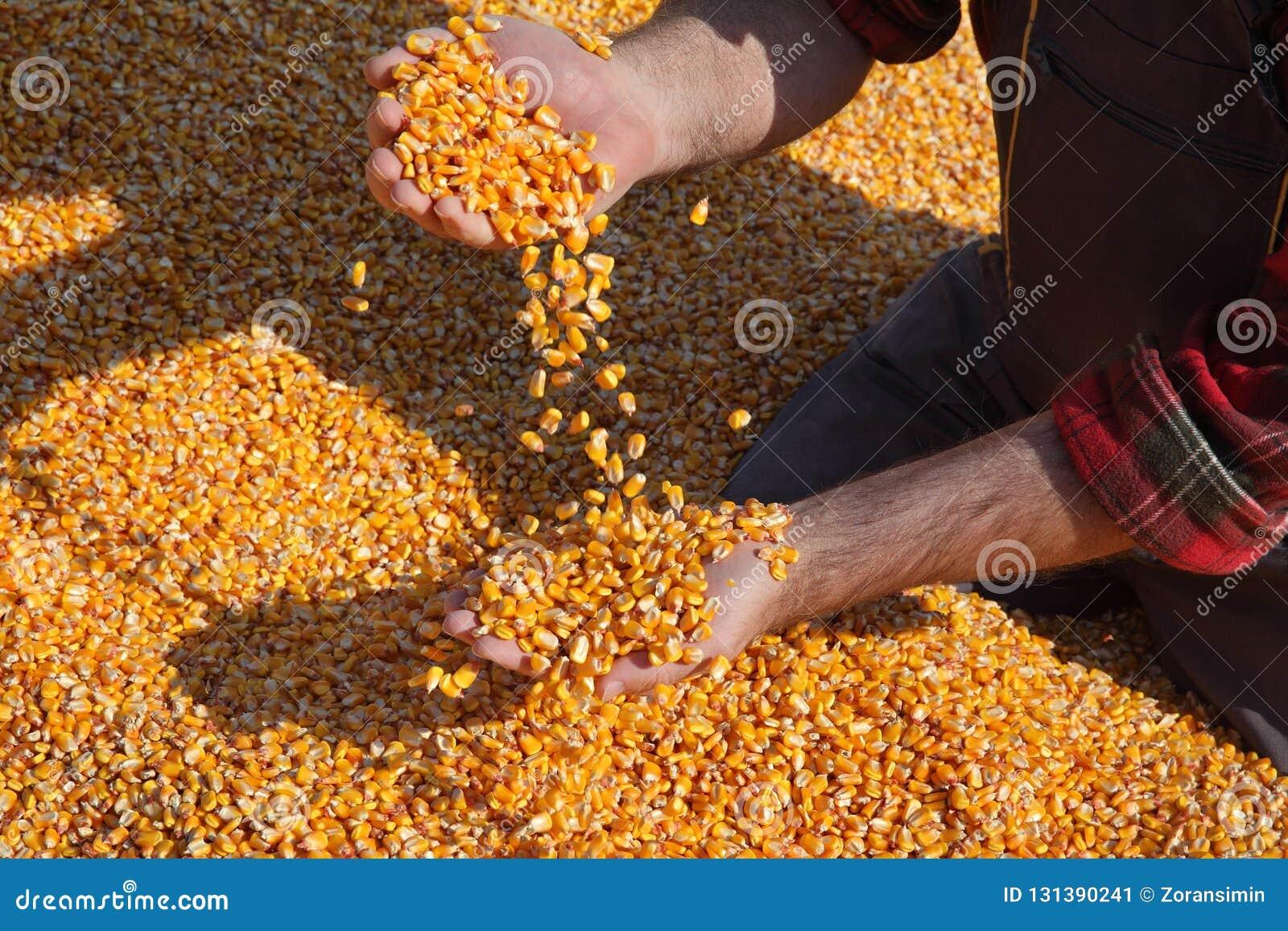 Сбор мозоли, семя фермера держа и лить, крупный план рук с семенем