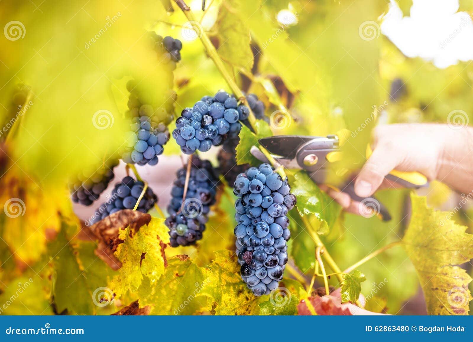Сбор осени на долине wineyard человек земледелия жать виноградины