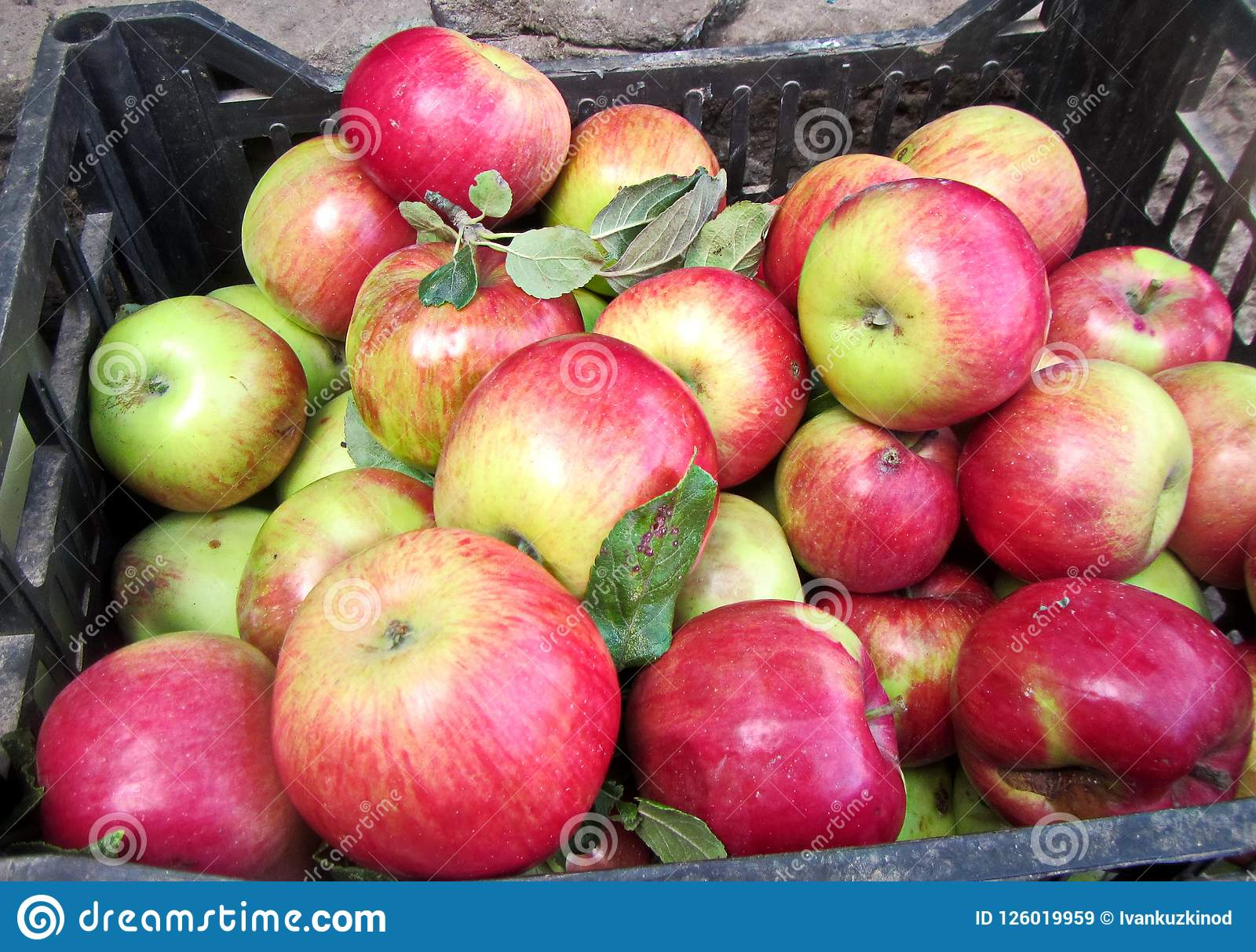 Сбор осени плодоовощей, яблок, ts nu собрал в ведрах и коробках